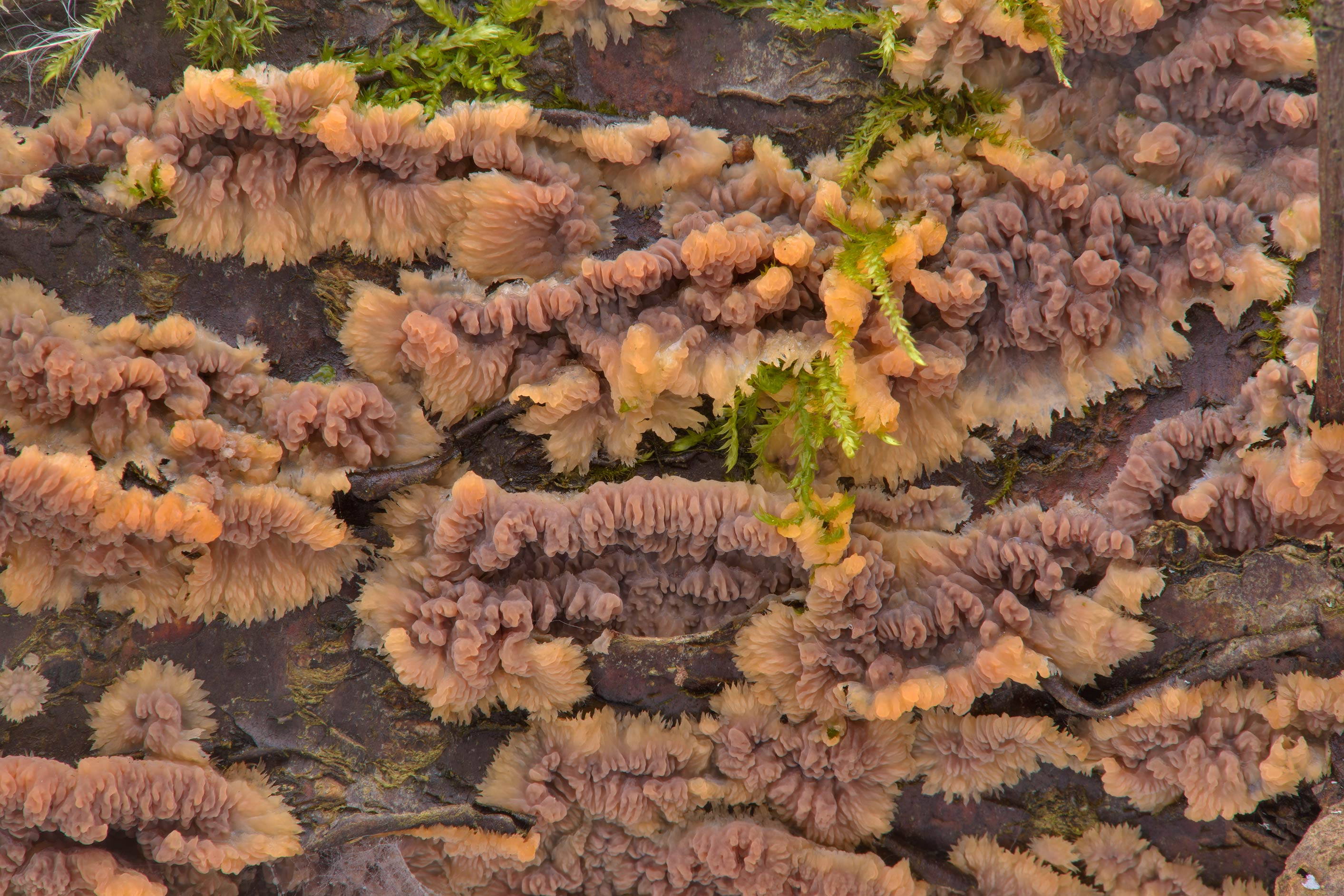 Wrinkled crust fungus (Phlebia radiata mushroom...Nos, west from St.Petersburg. Russia