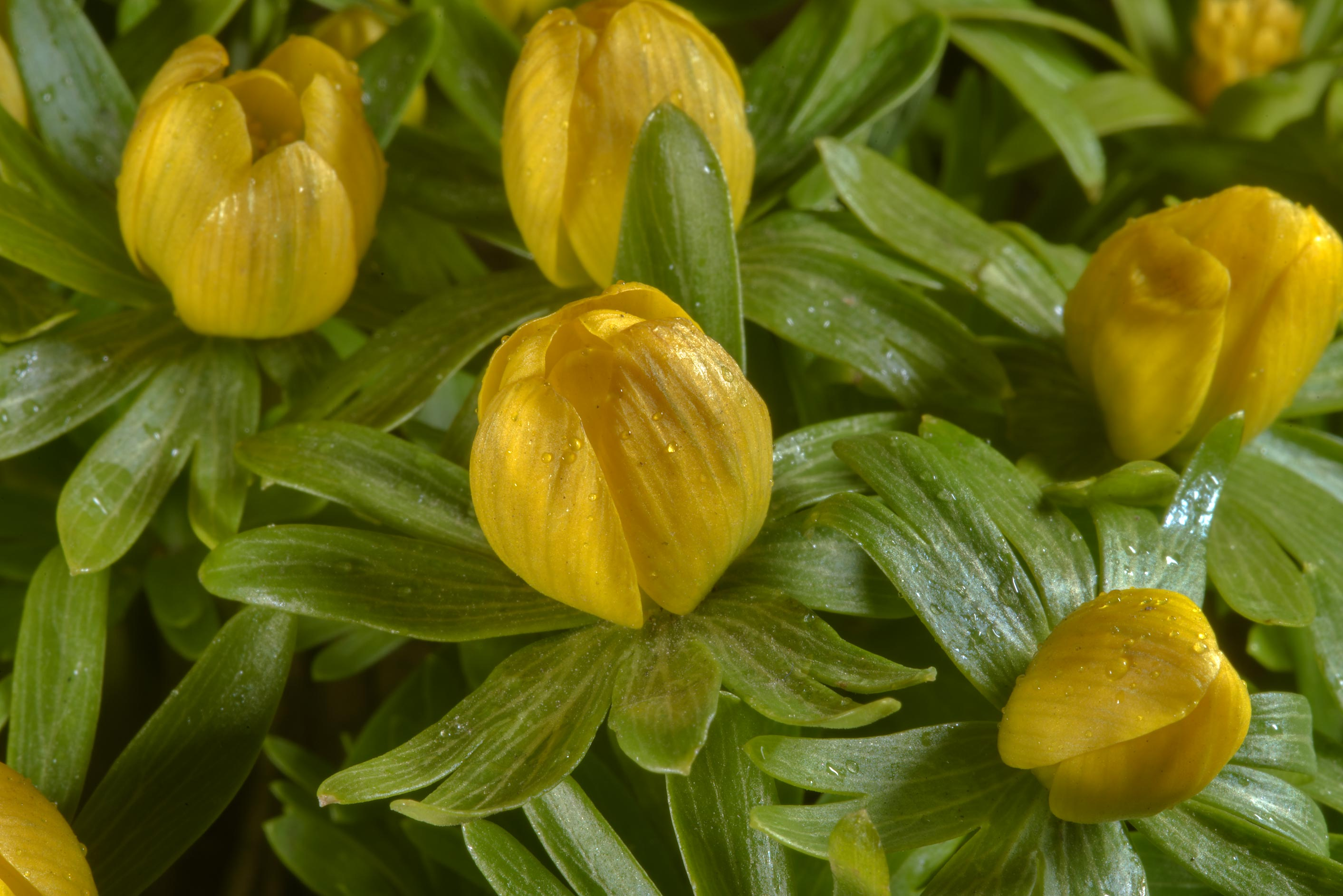 Winter aconite (Eranthis hyemalis) in Botanic...Institute. St.Petersburg, Russia