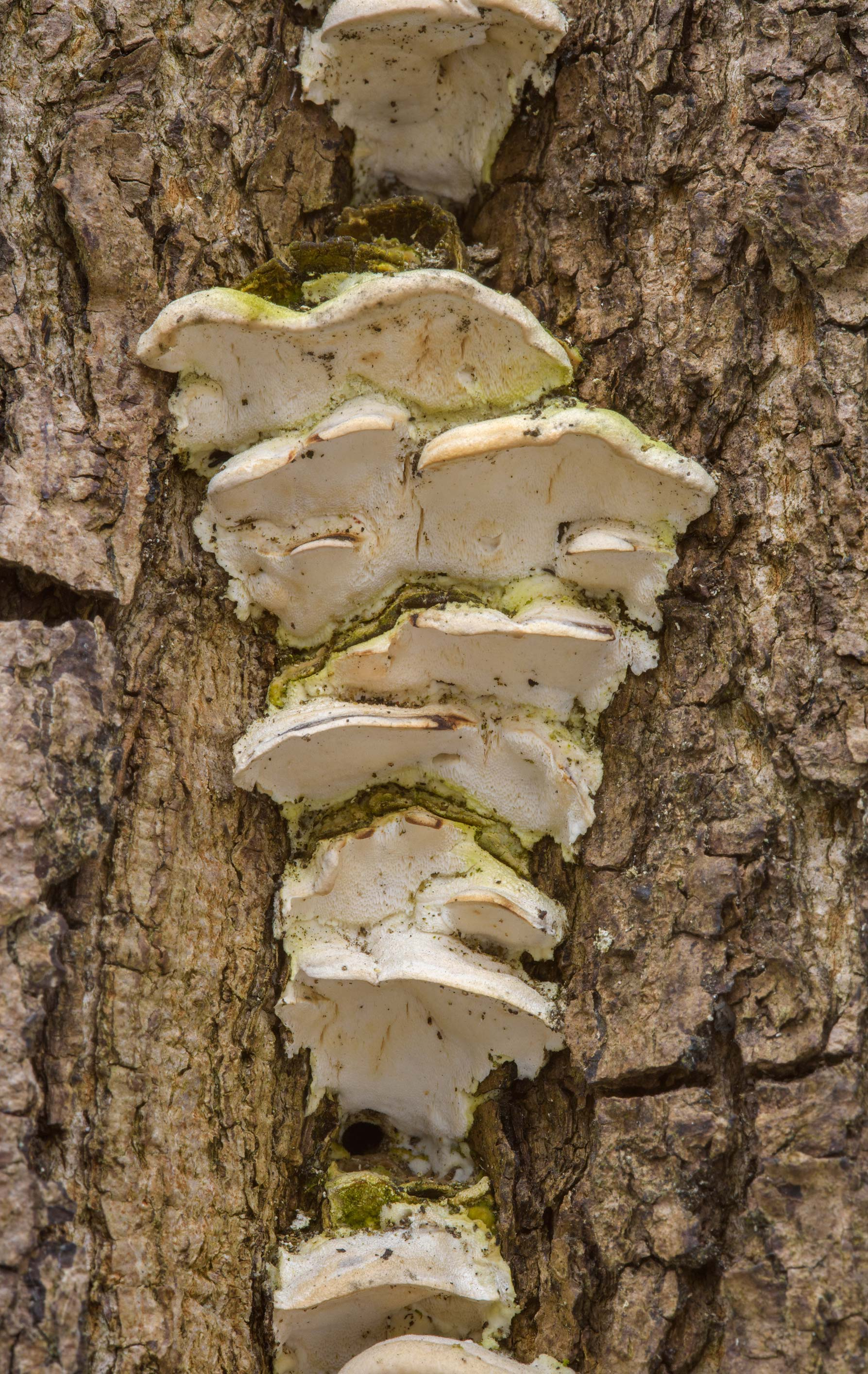 Mossy maple polypore mushrooms (Oxyporus...in Lesnoy Park. St.Petersburg, Russia