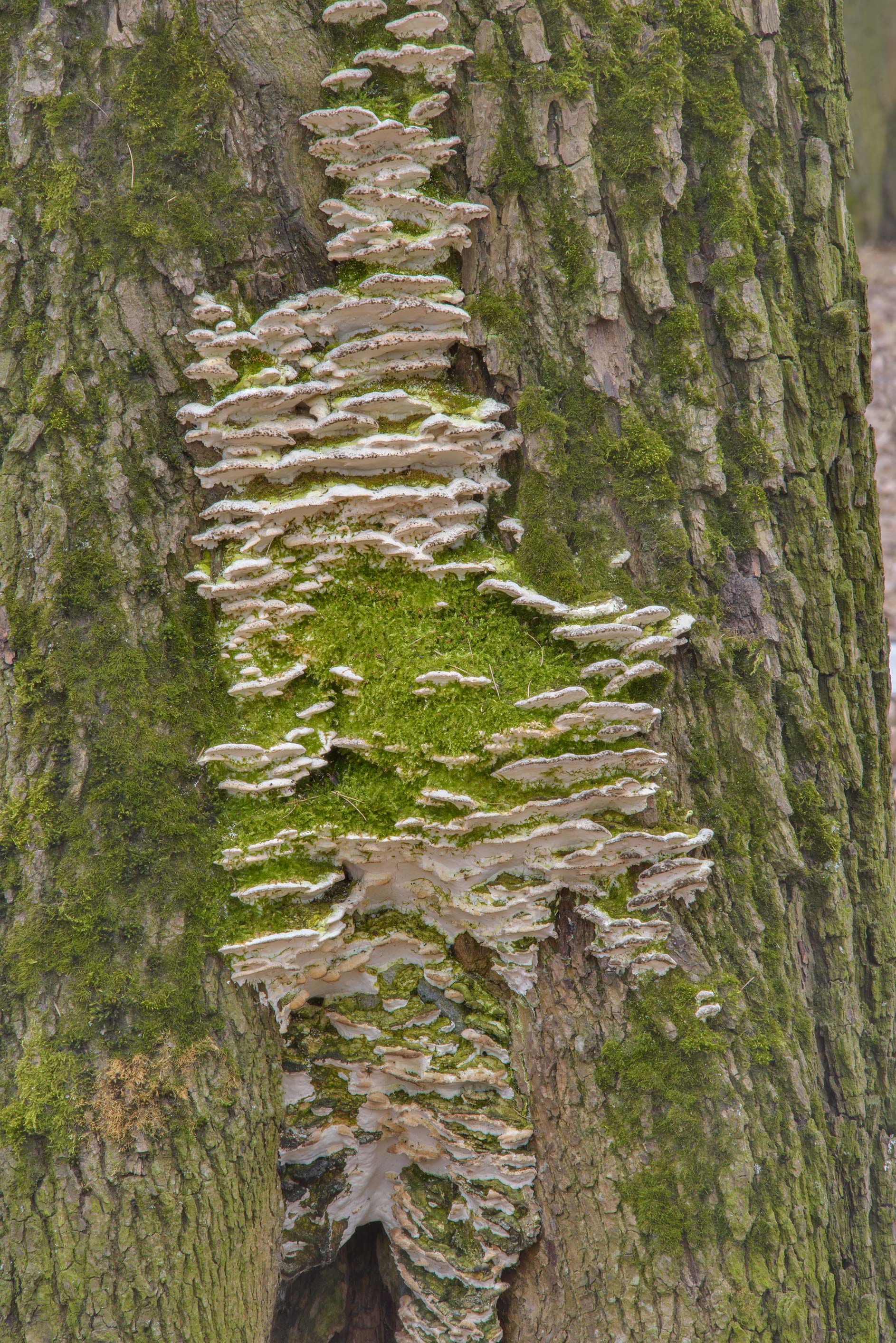 Greenish mossy maple polypore mushrooms (Oxyporus...in Lesnoy Park St.Petersburg, Russia