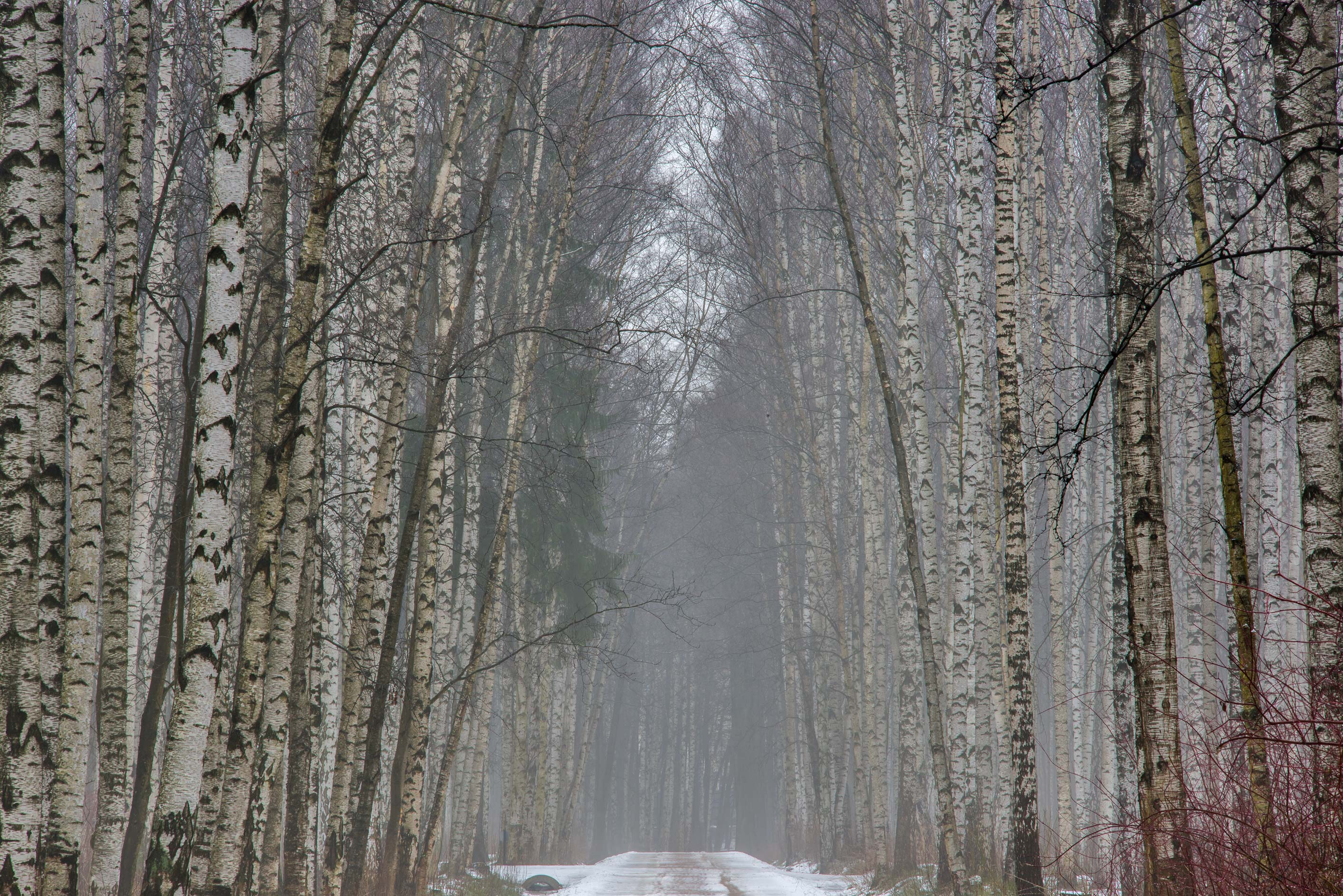 Birch alley in Udelny Park (former Celiuskintsev) in mist. St.Petersburg, Russia