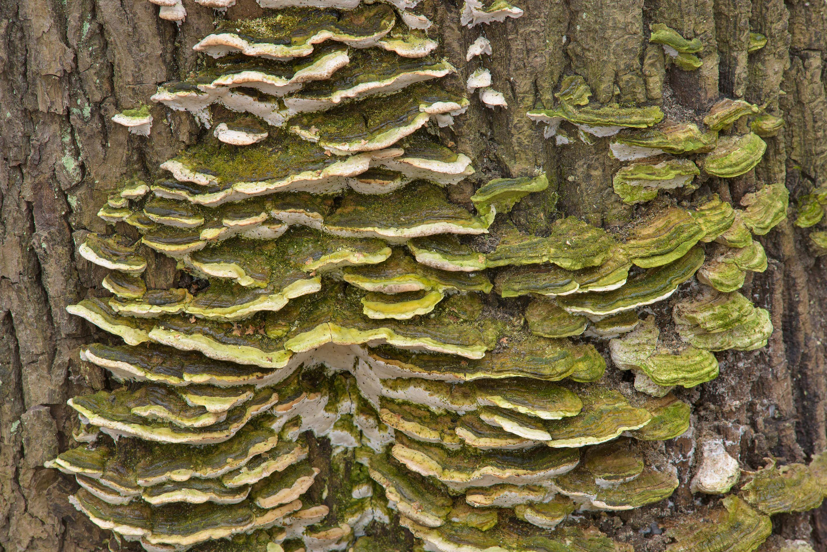 Mossy maple polypore mushrooms (Oxyporus...Cemetery. St.Petersburg, Russia