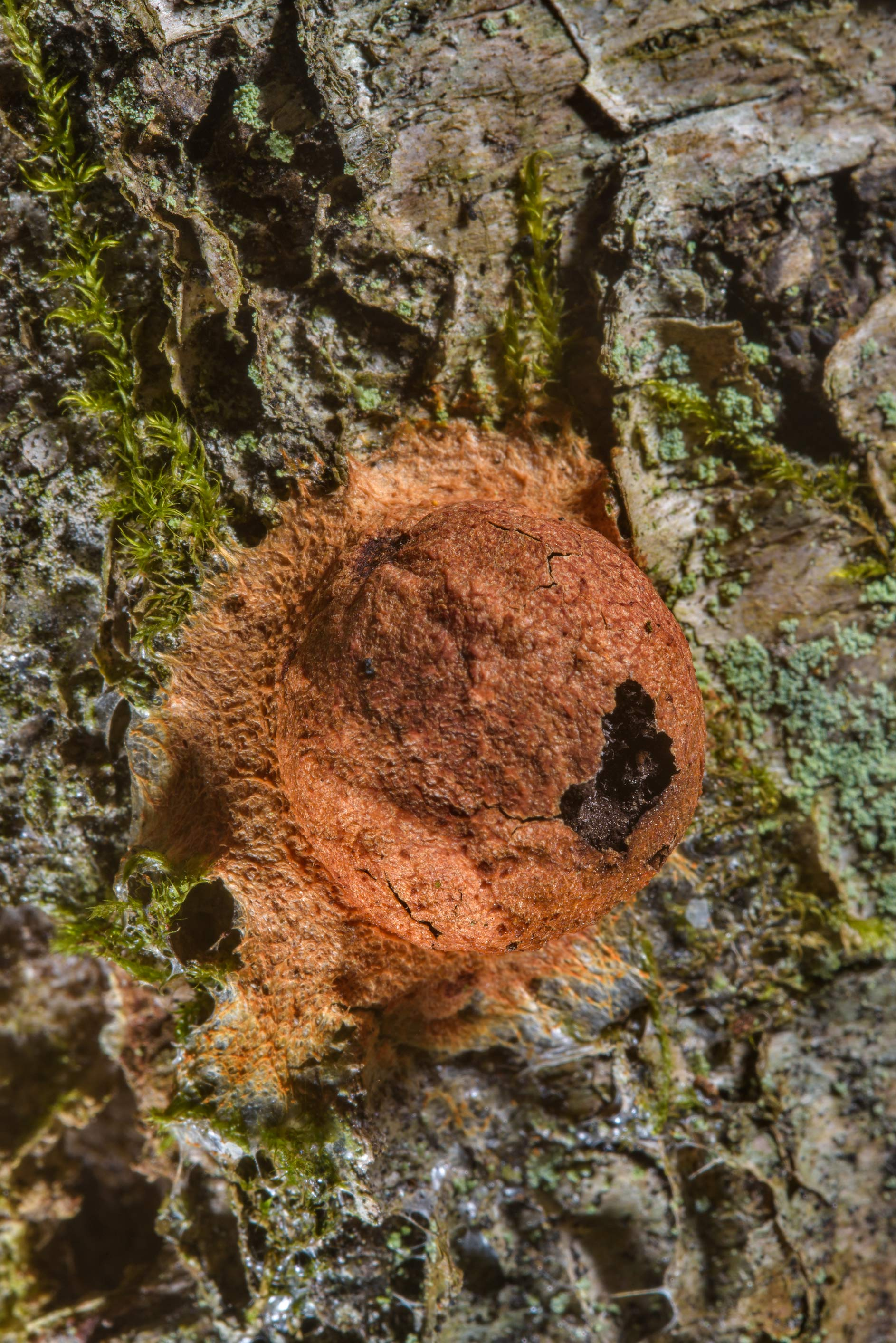 Slime mold Fuligo leviderma on a birch in Sosnovka Park. St.Petersburg, Russia