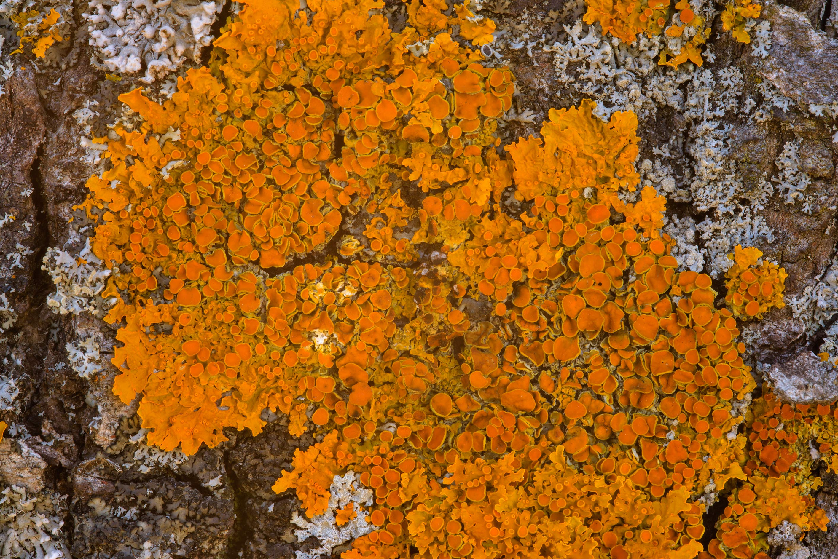 Golden lichen Xanthoria parietina on a birch...west from St.Petersburg. Russia