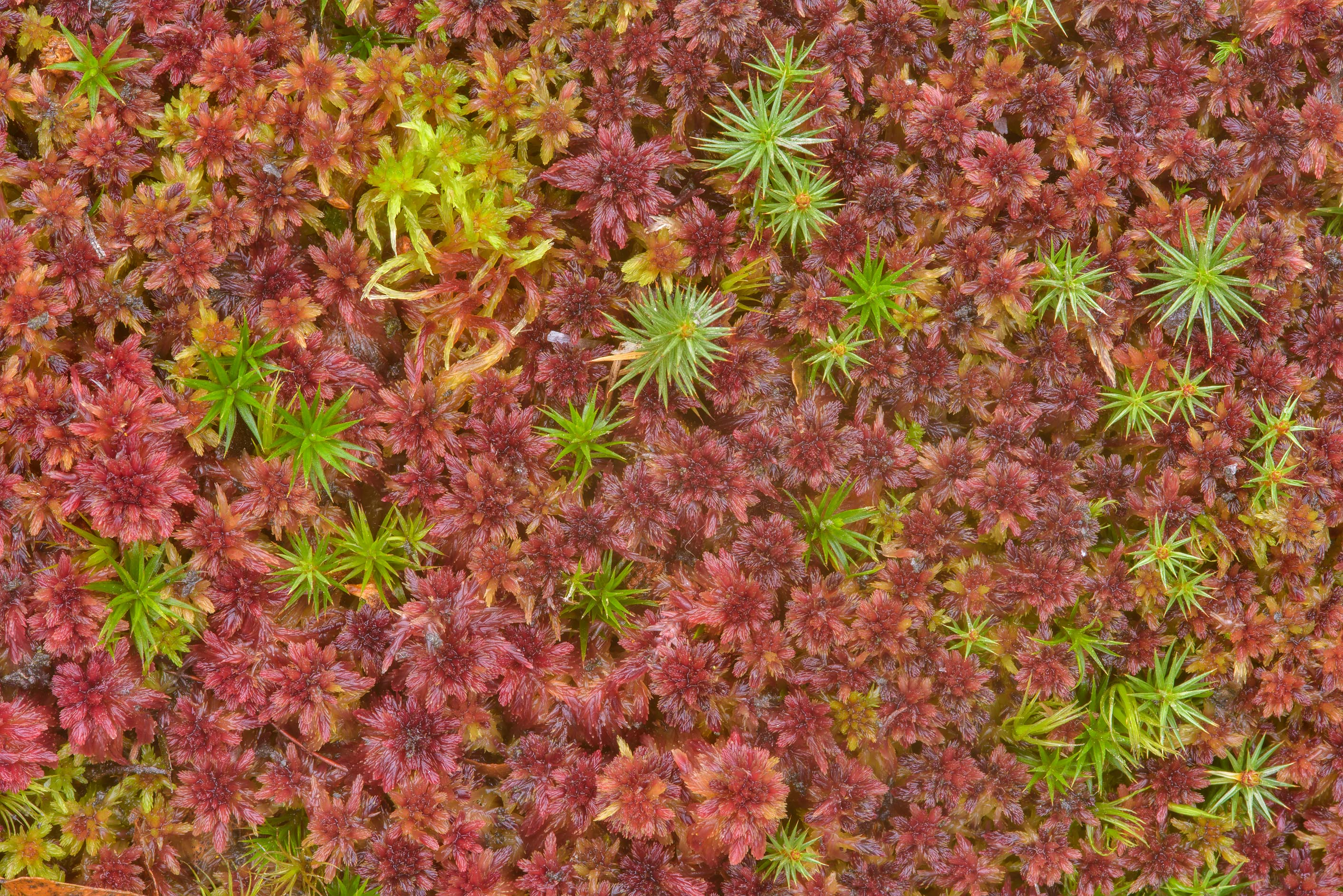 Multicolored peat (sphagnum) moss in swampy area of Sosnovka Park. St.Petersburg, Russia