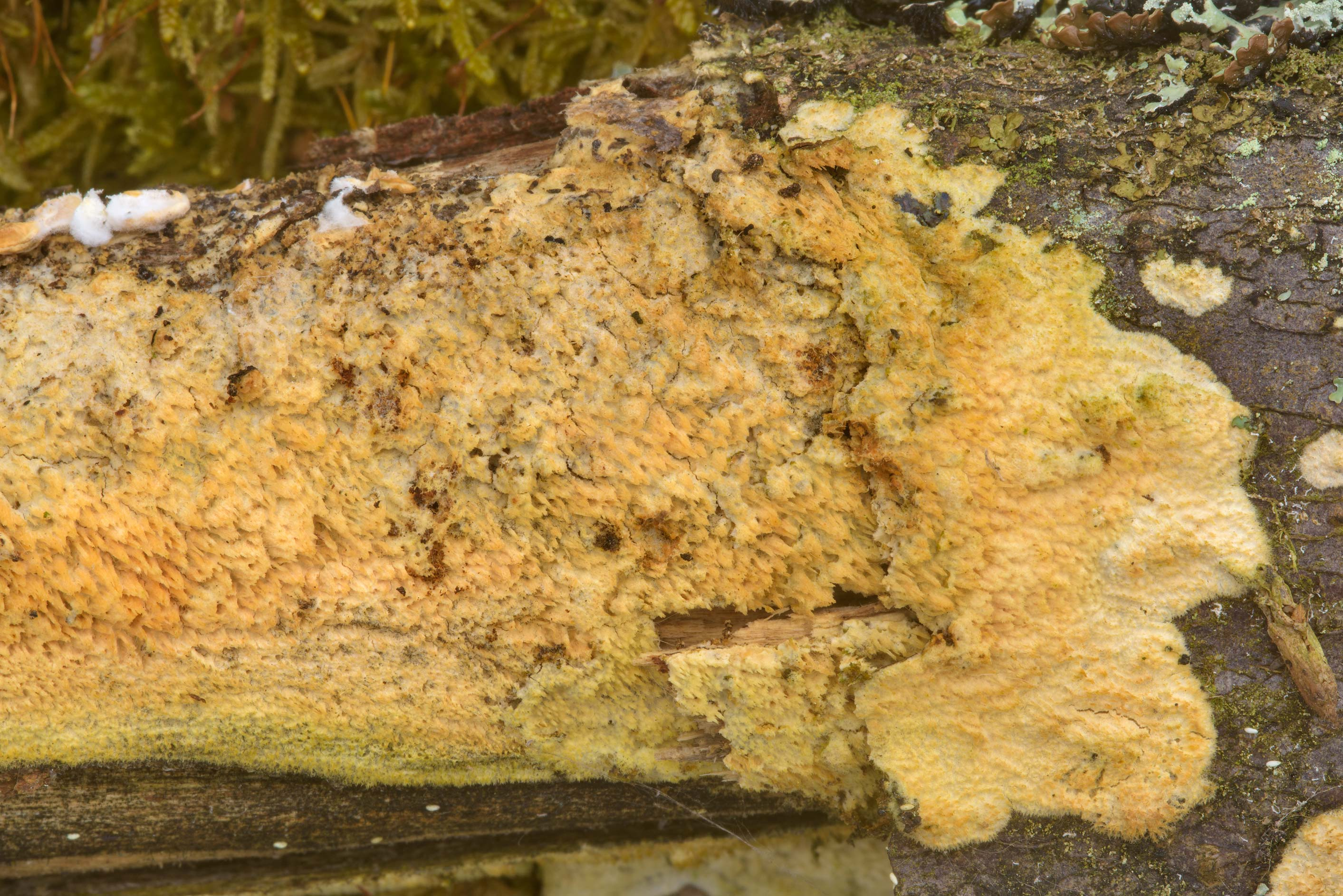 Yellowish corticioid mushroom on a trunk of a dry...north-west from St.Petersburg. Russia