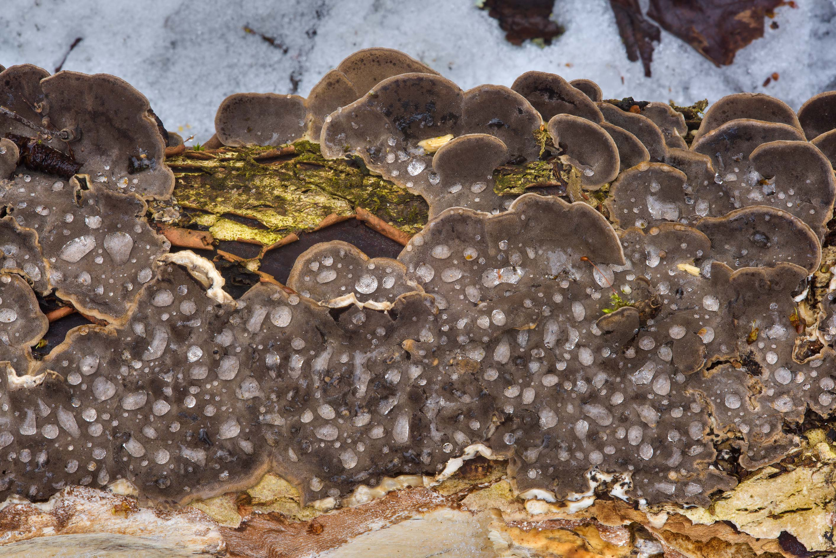 Smoky polypore mushrooms (smoky bracket...north-west from St.Petersburg. Russia