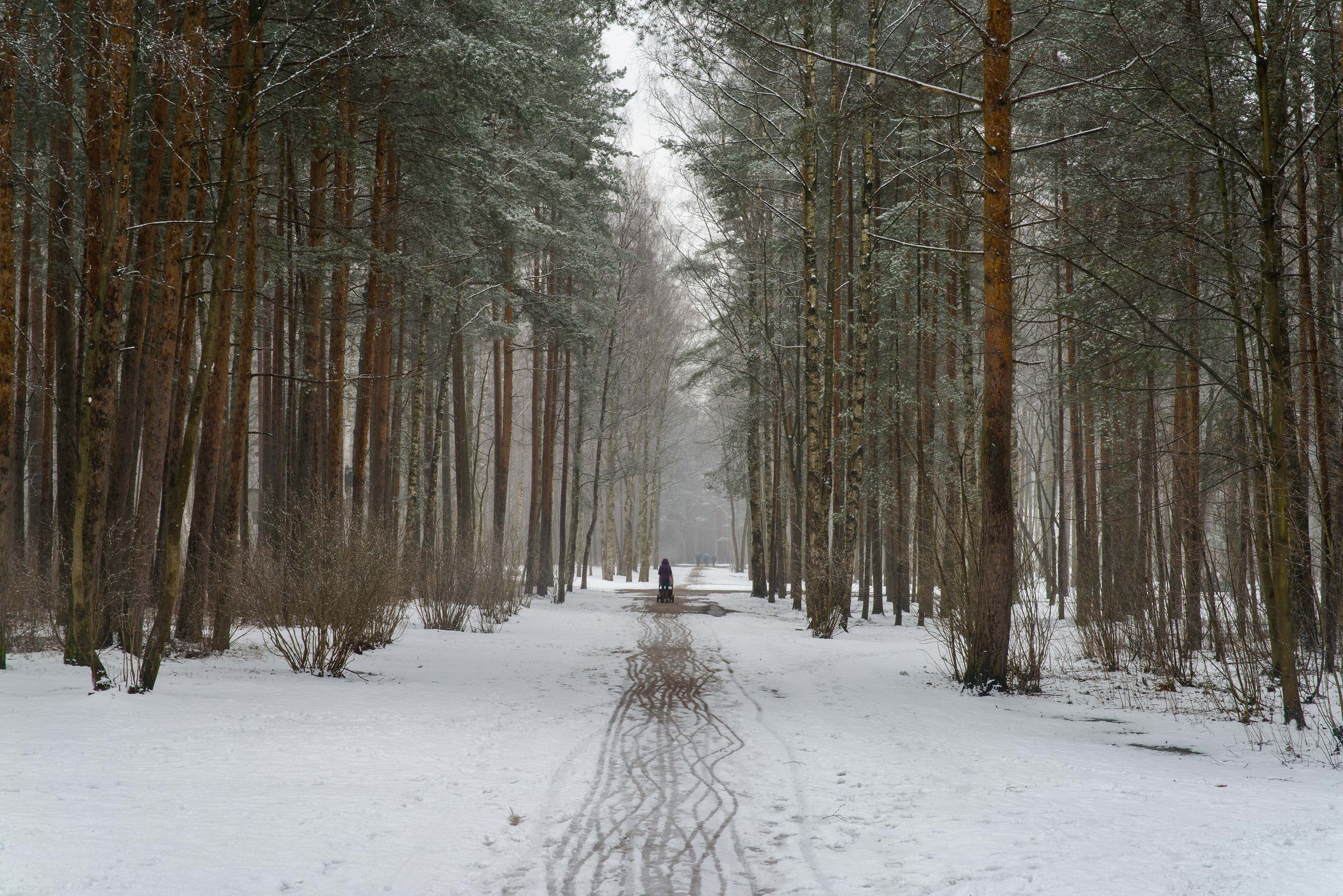 Pine alley with snow in Sosnovka Park. St.Petersburg, Russia