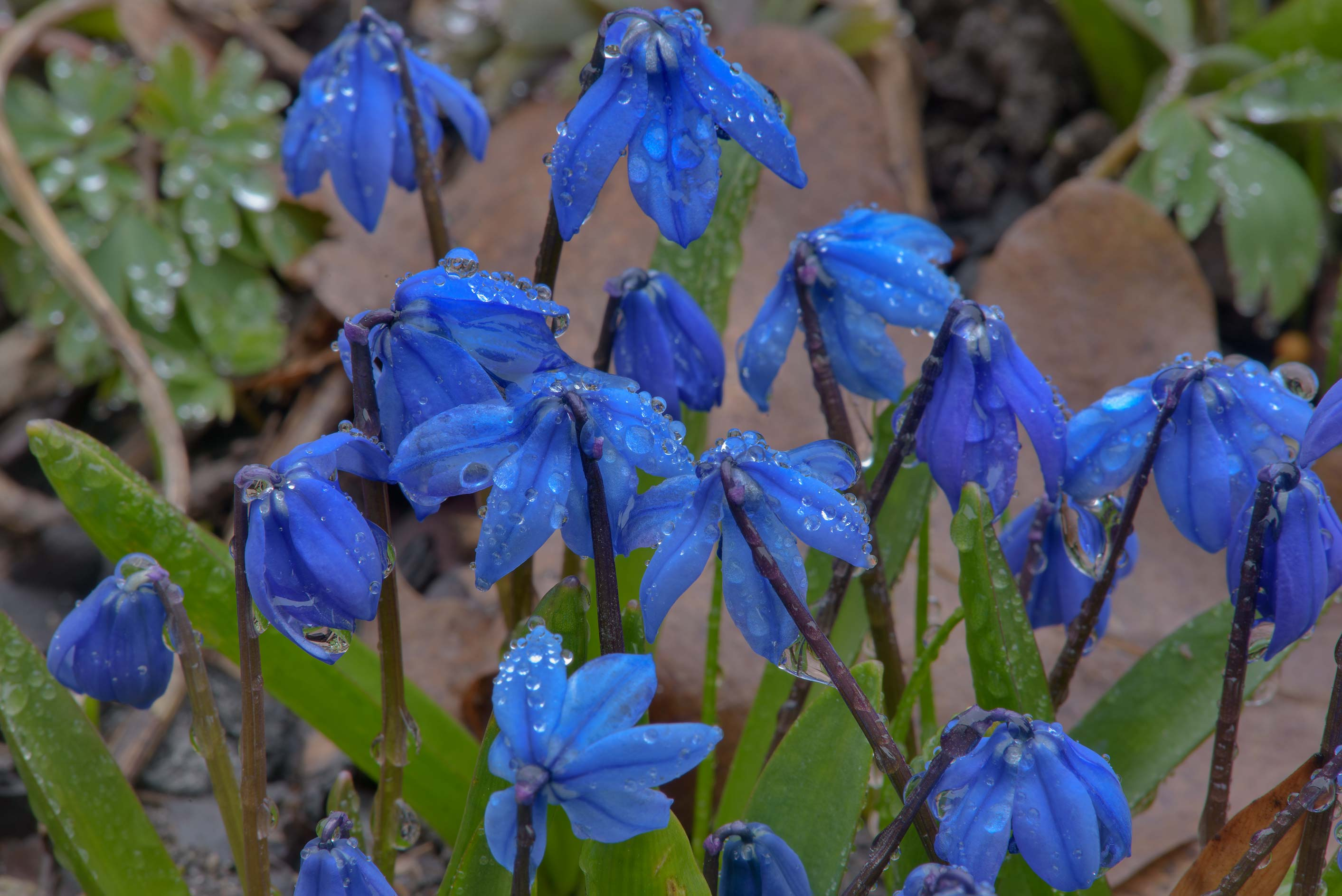 Blue flowers of squill (Scilla armena) in Botanic...Institute. St.Petersburg, Russia