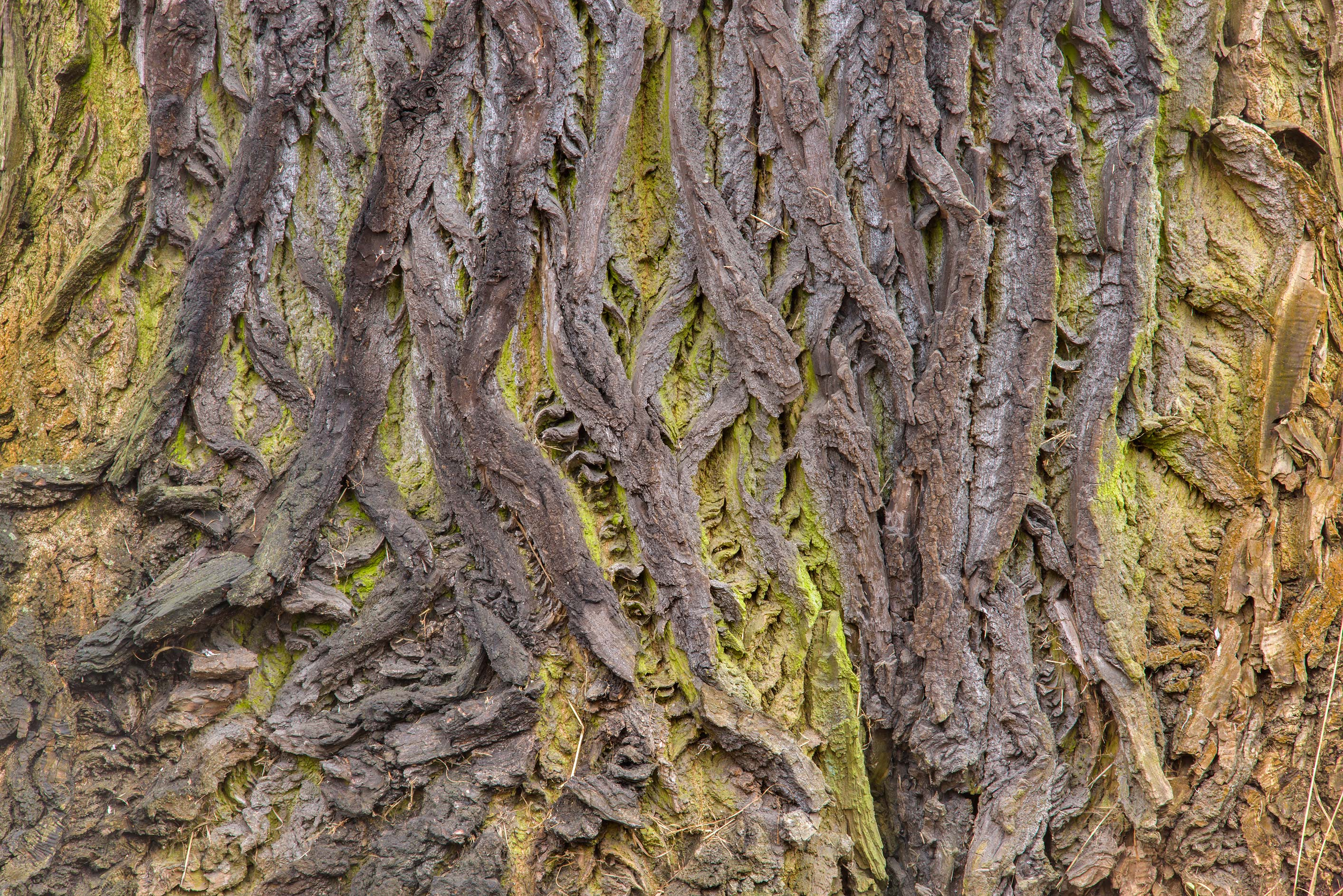 Bark of a large poplar in Botanic Gardens of...Institute. St.Petersburg, Russia