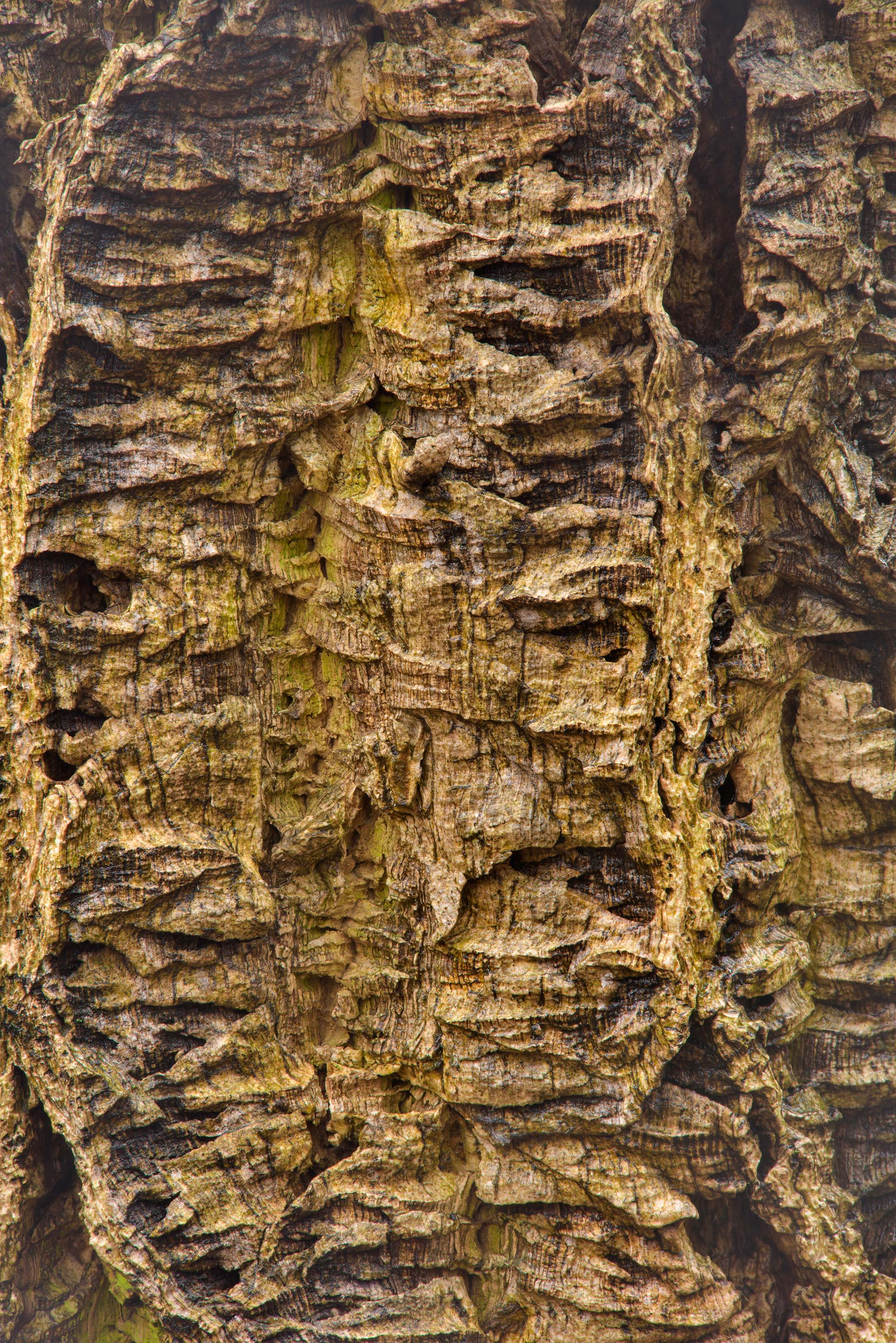 Corky bark of a tree in Botanic Gardens of...Institute. St.Petersburg, Russia