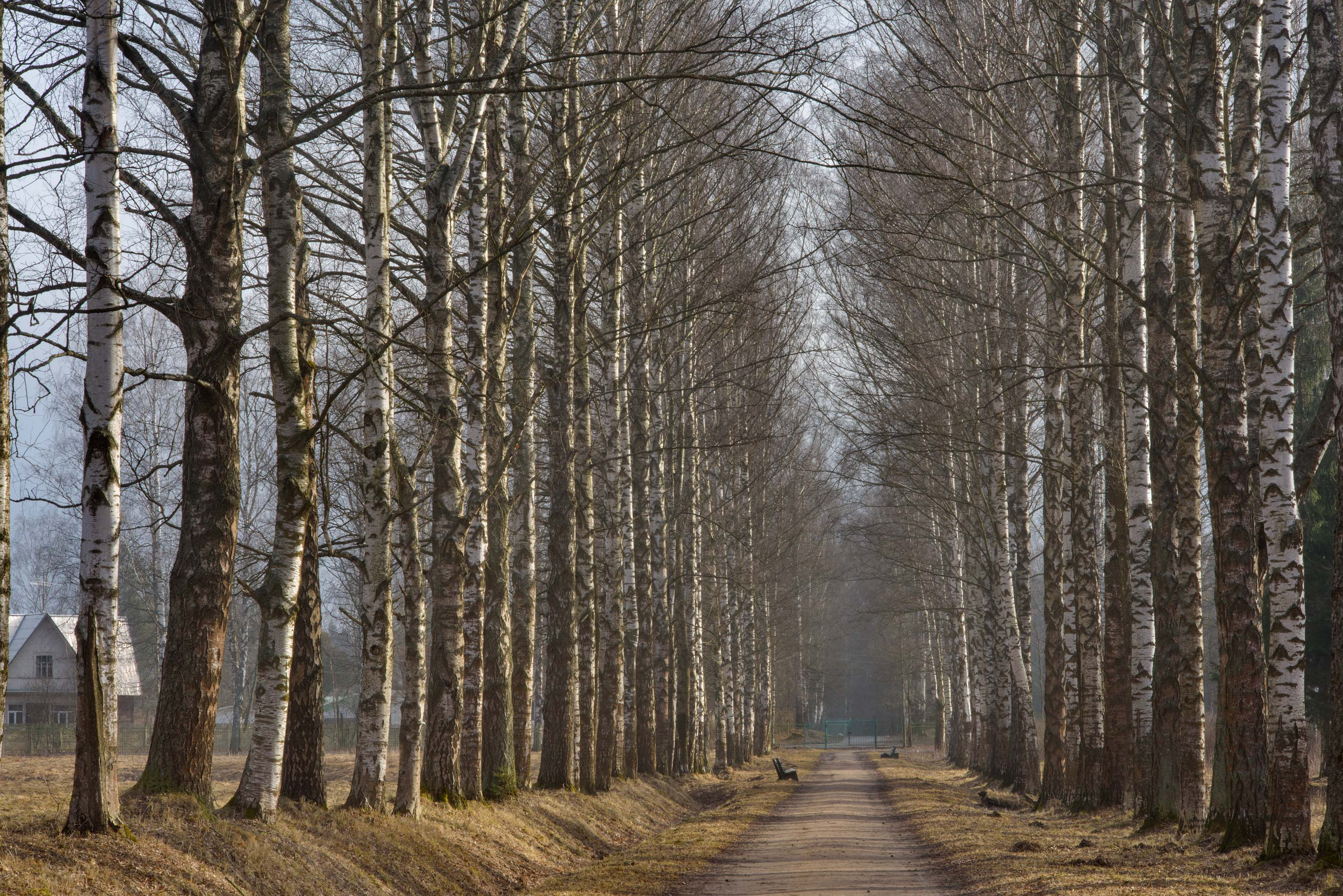 Birch trees on Krasnogo Bugra Alley in Pavlovsk, suburb of St.Petersburg. Russia