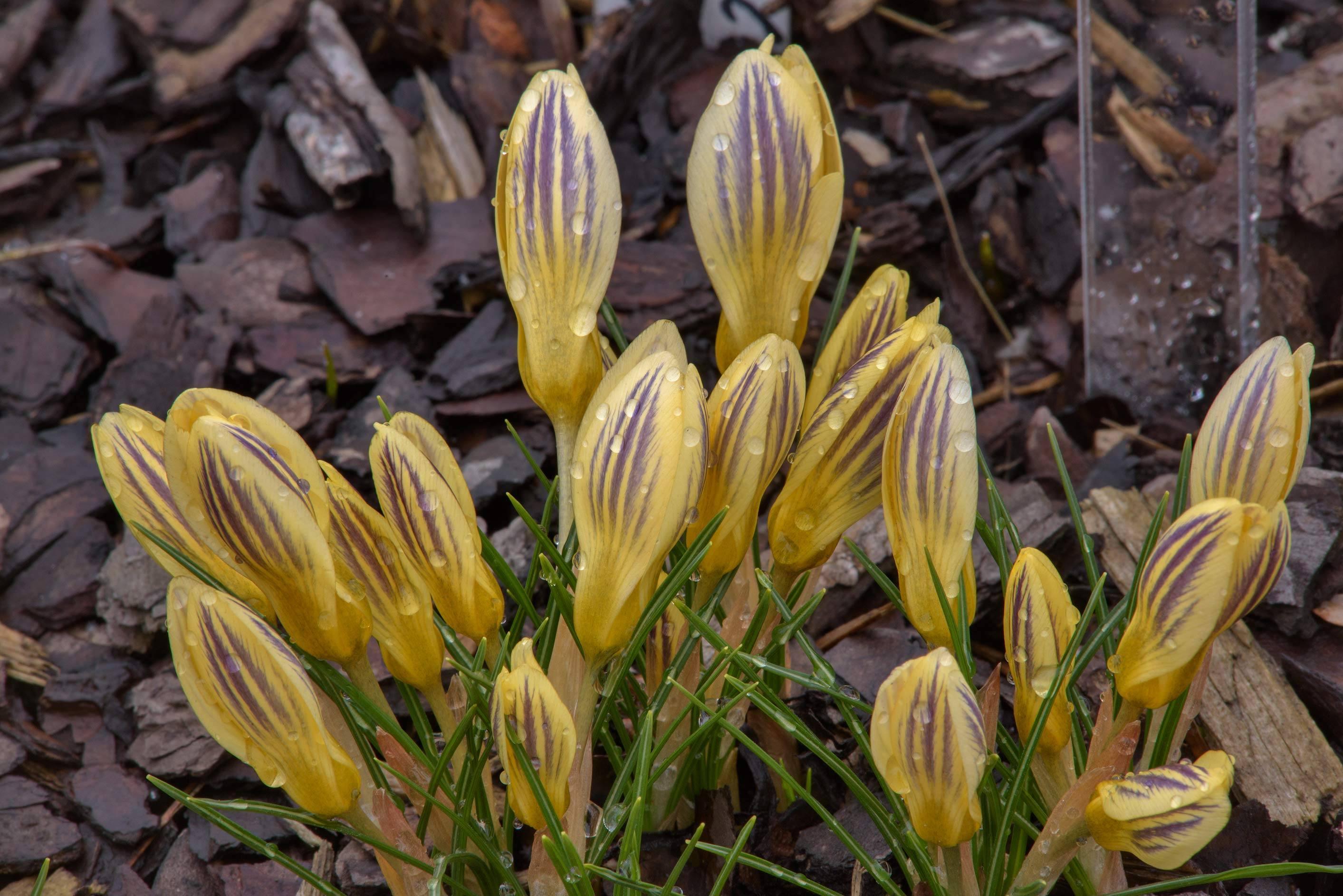 Crocus chrysanthus 'Marietta' in Botanic Gardens...Institute. St.Petersburg, Russia
