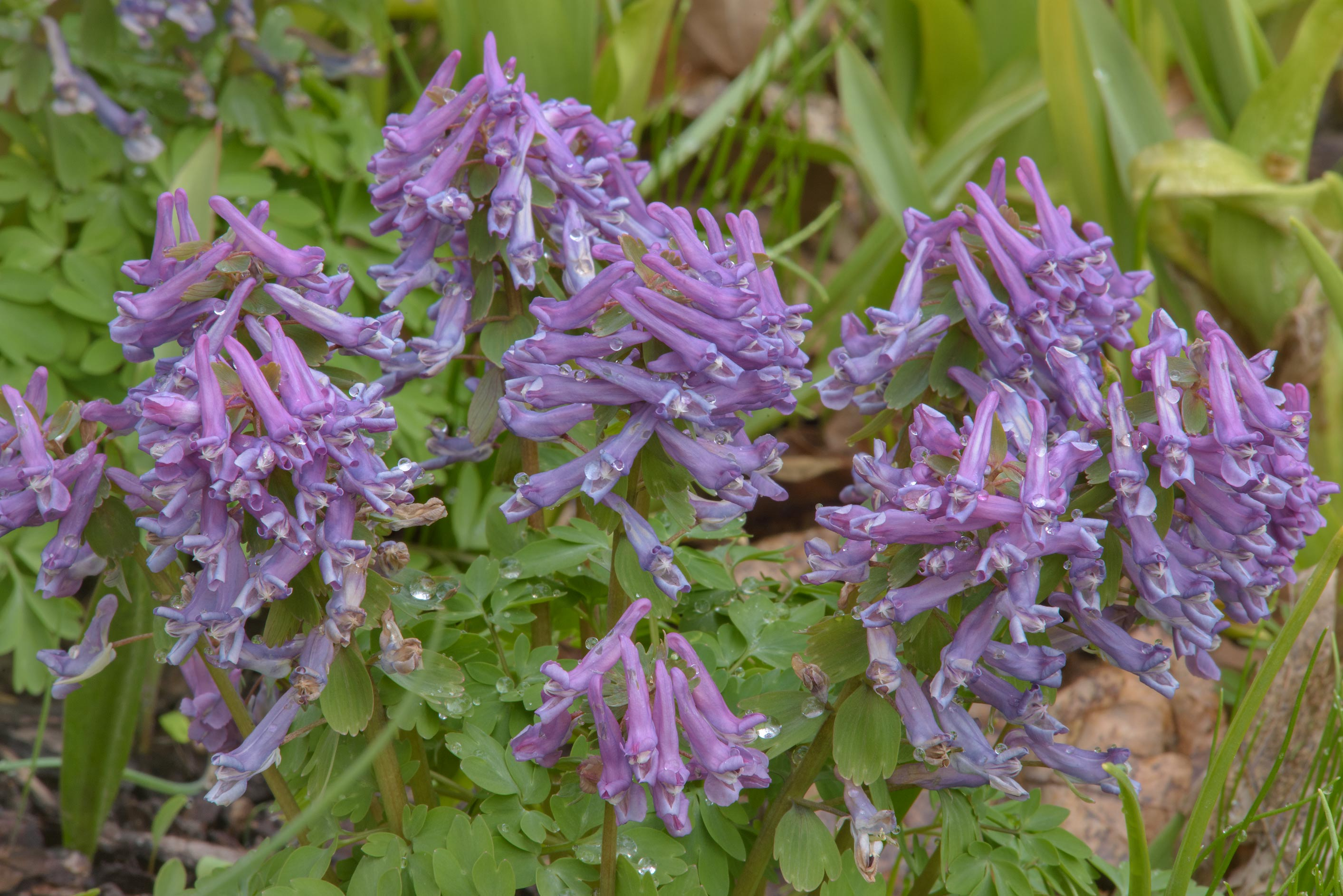 Spring fumewort (Corydalis bulbosa) in Botanic...Institute. St.Petersburg, Russia
