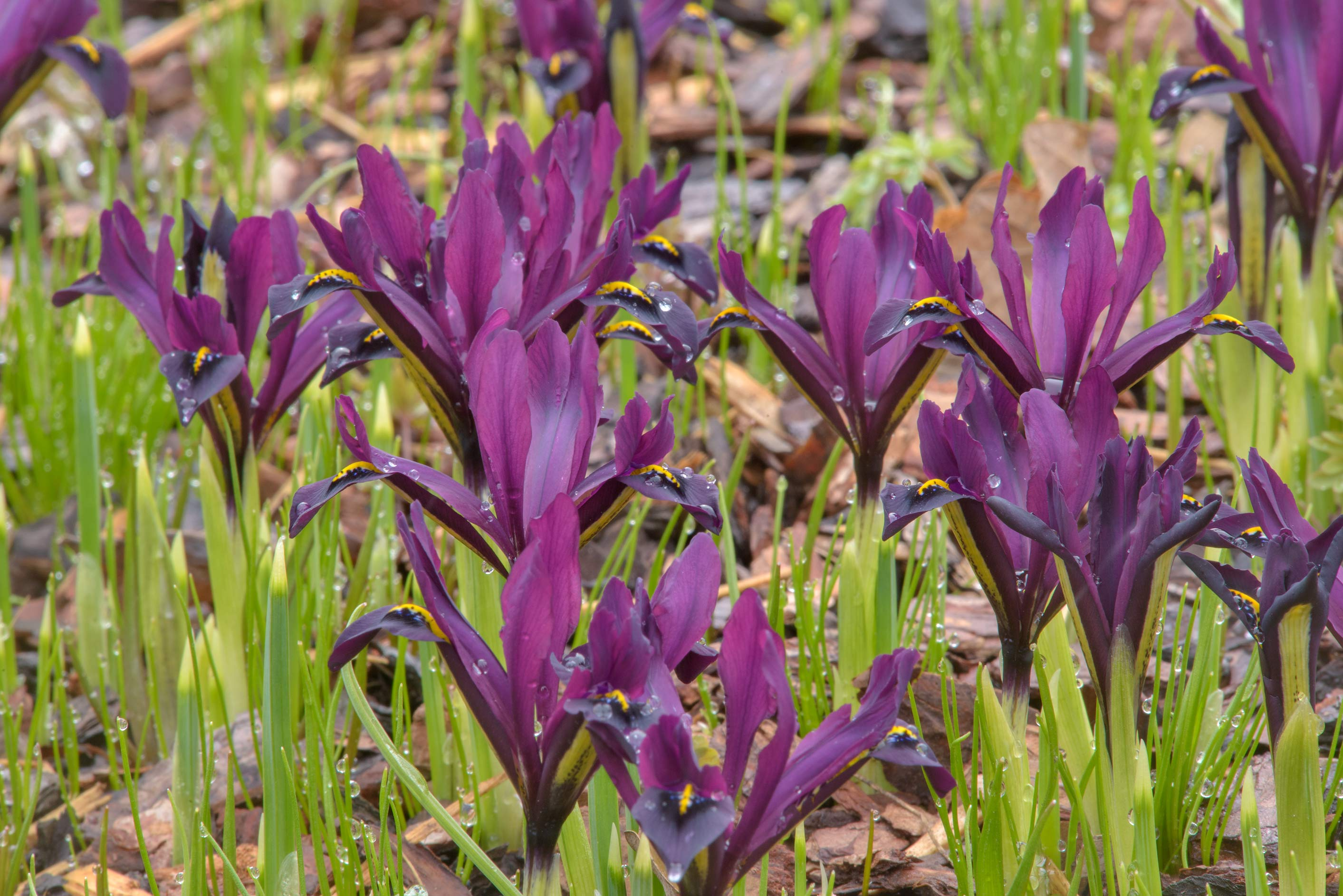 Violet iris flowers (Iridodictyum) in Botanic...Institute. St.Petersburg, Russia
