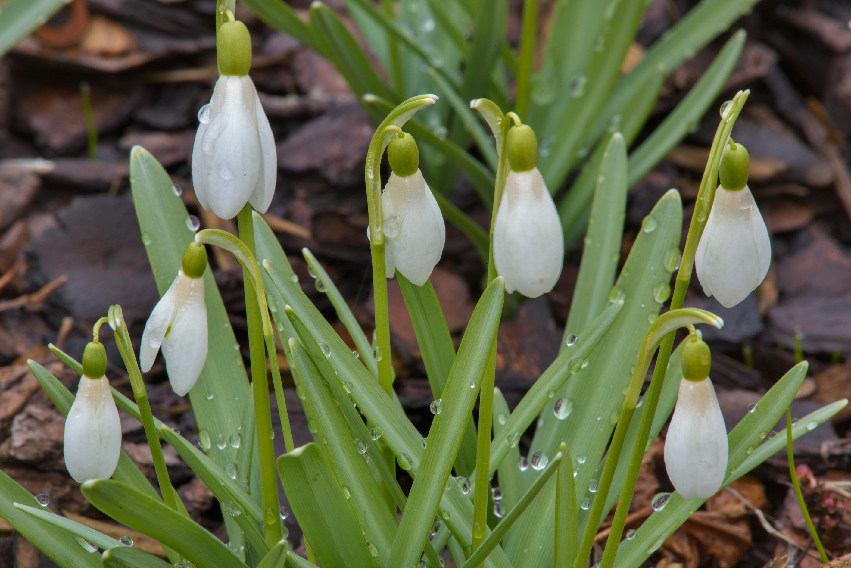 White flowers of snowdrops (Galanthus) in Botanic...Institute. St.Petersburg, Russia