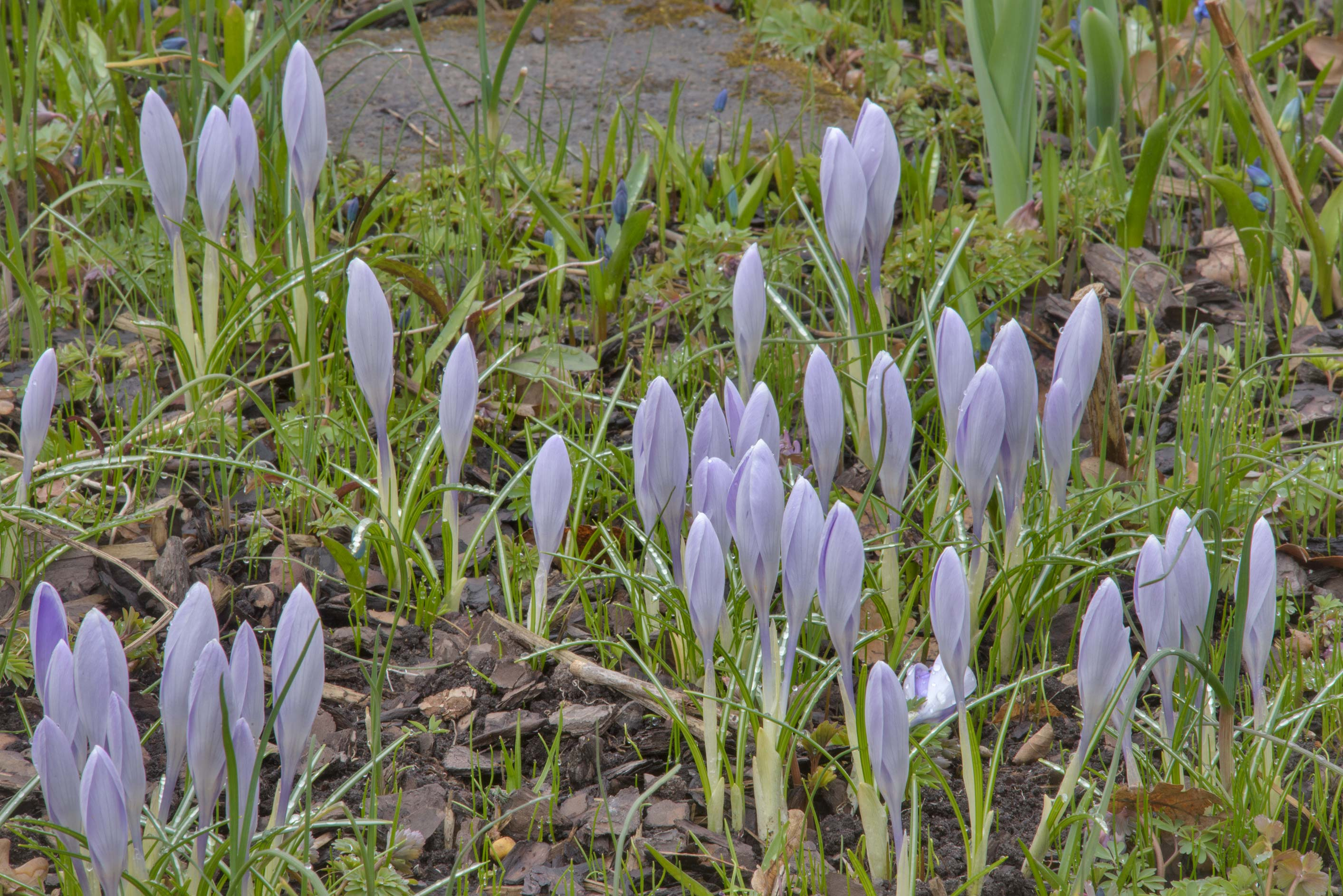 Blue crocus flowers in Botanic Gardens of Komarov...Institute. St.Petersburg, Russia
