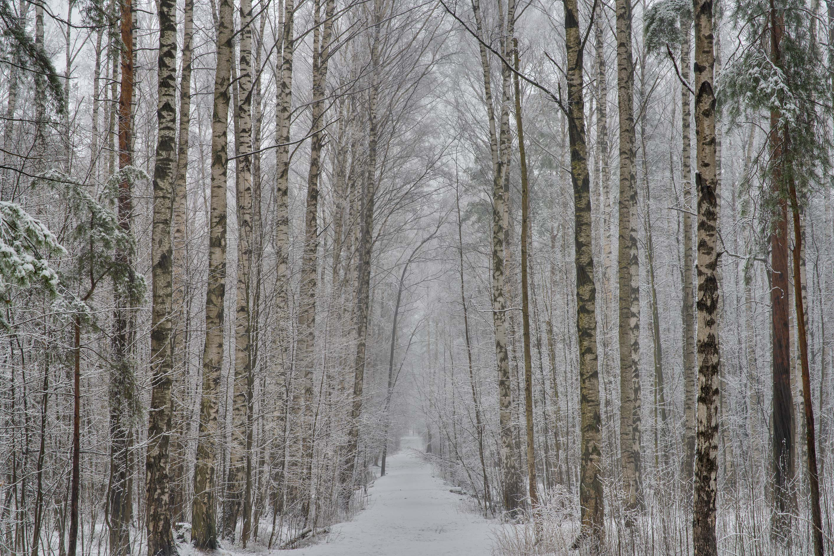 Birch trees at snowfall in Sosnovka Park. St.Petersburg, Russia