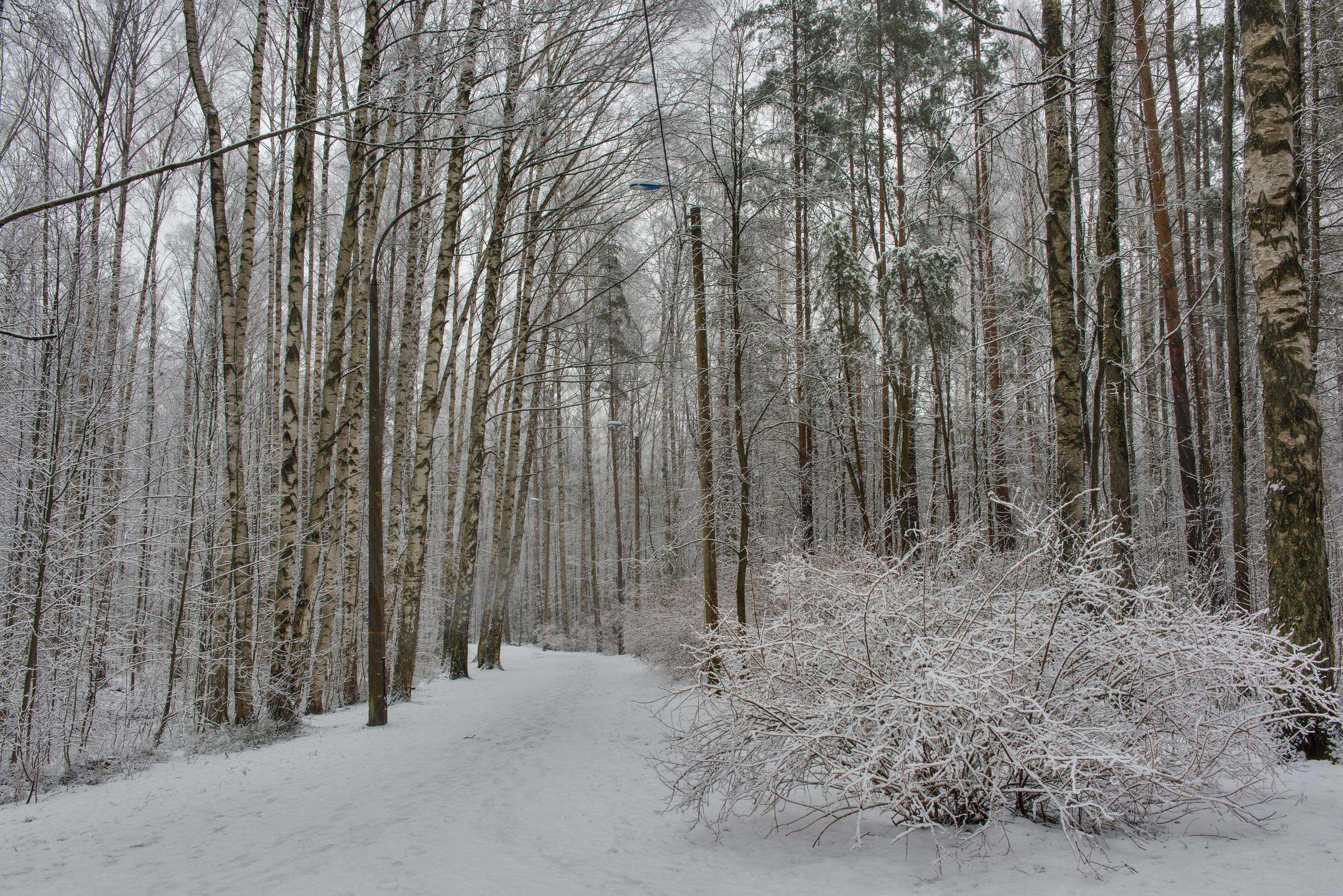 Forest with fresh snow in Sosnovka Park. St.Petersburg, Russia
