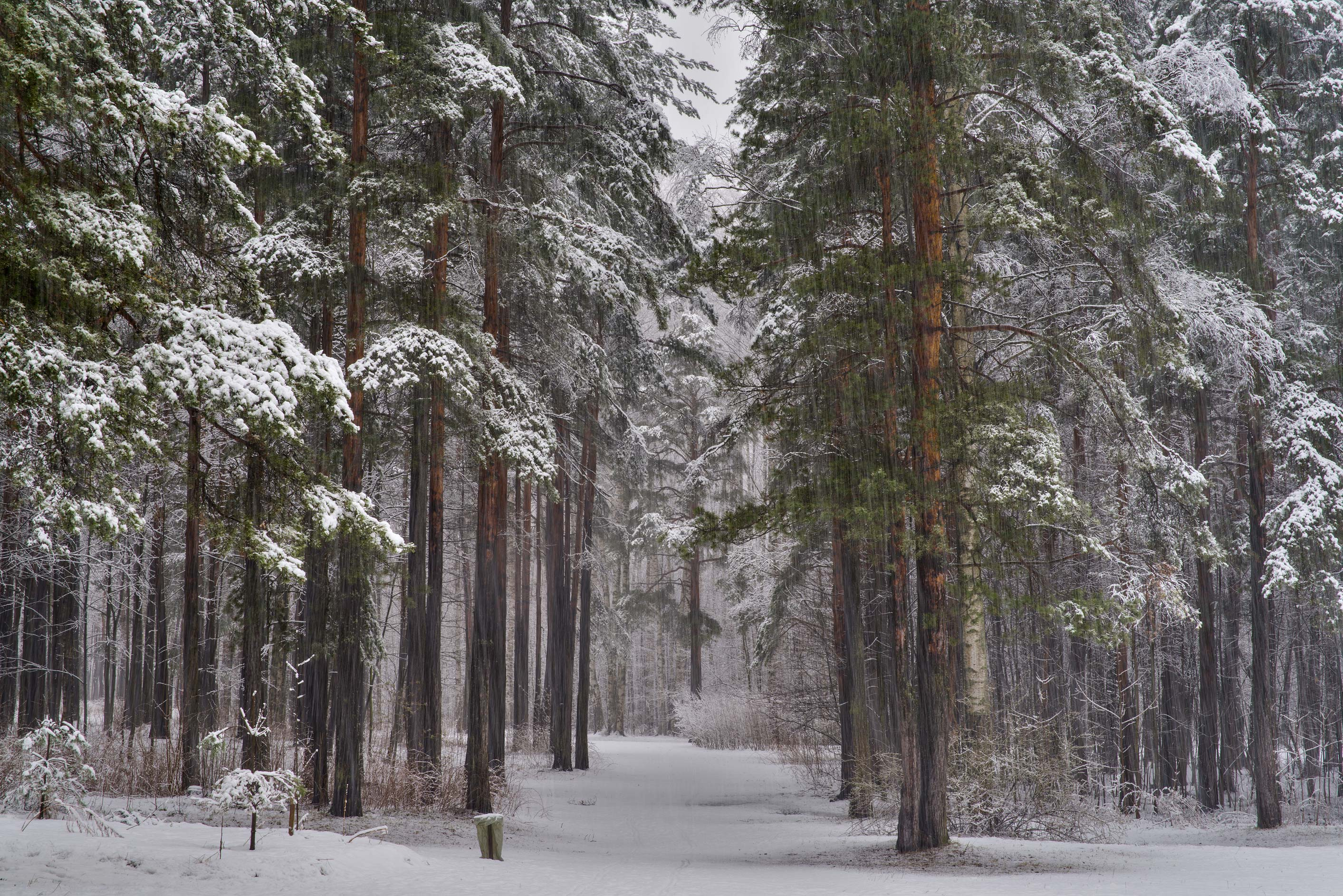 Pine alley in Sosnovka Park. St.Petersburg, Russia