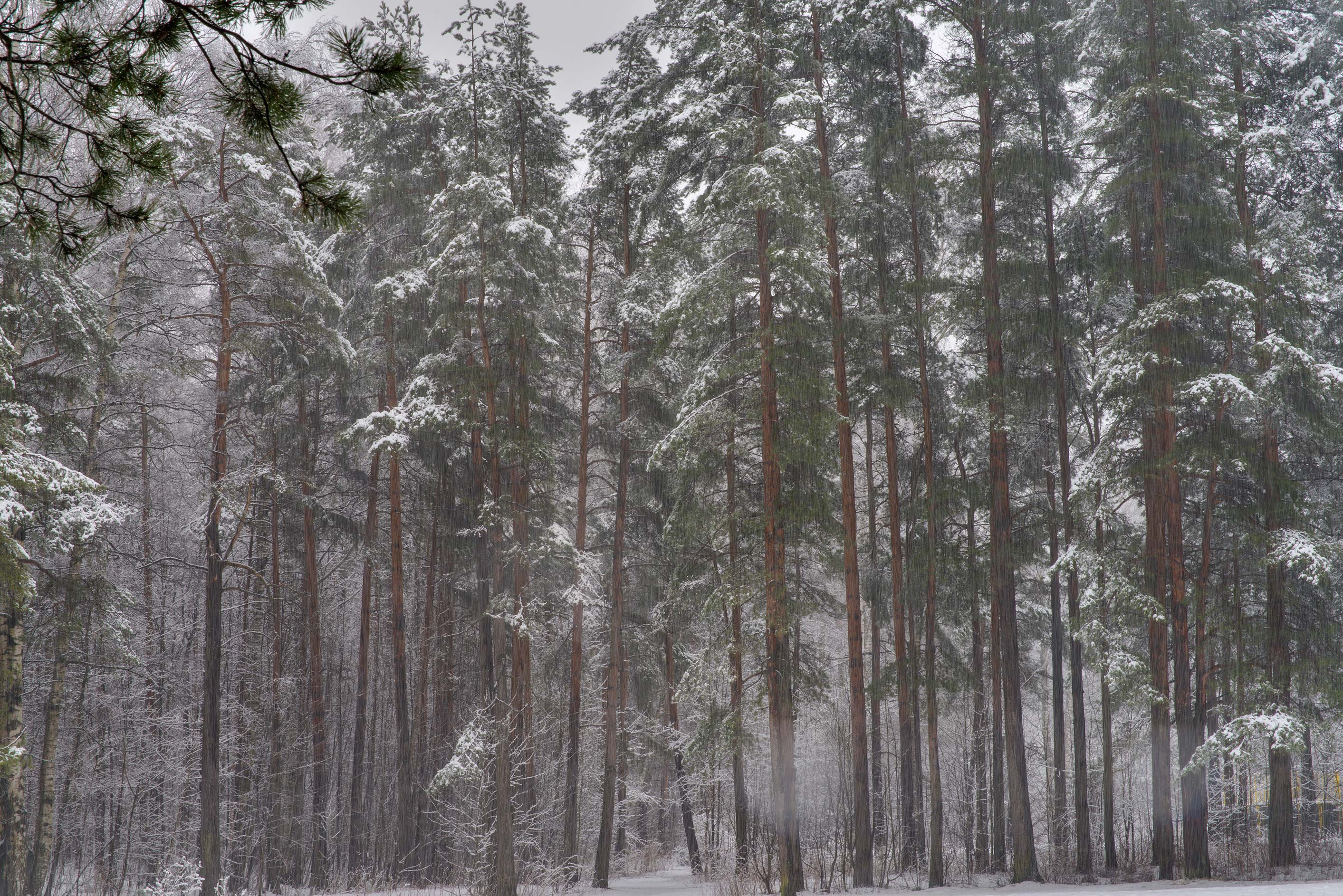 Pines with fresh snow in Sosnovka Park. St.Petersburg, Russia