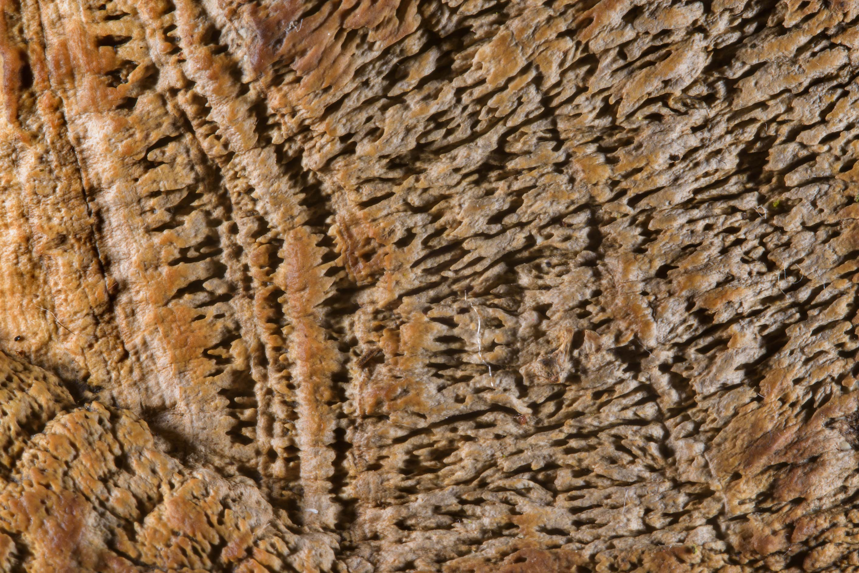 Texture of a cap of maze-gill fungus (oak...Nos, west from St.Petersburg. Russia