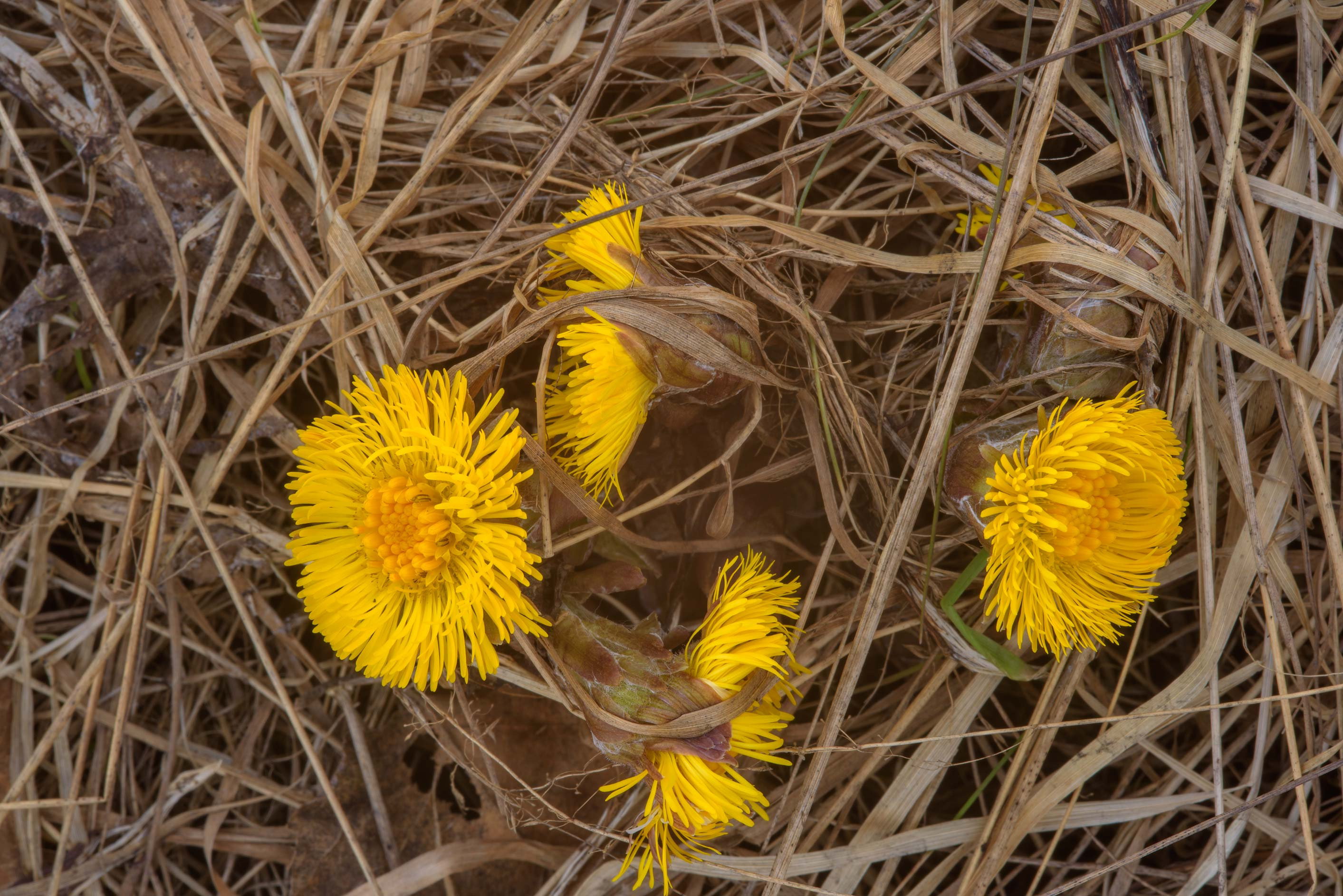 Flowers of Coltsfoot (Tussilago farfara, Russian...miles north from St.Petersburg. Russia