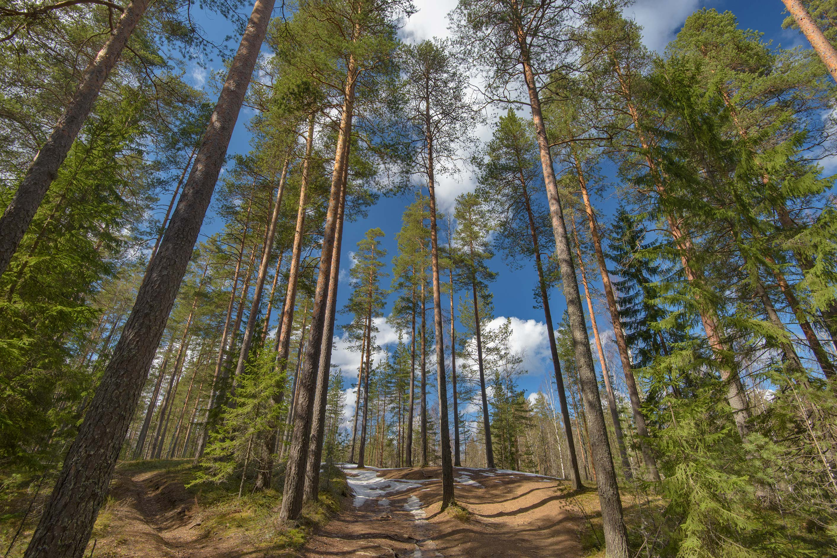 Road in pine forest near Lembolovo, 40 miles north from St.Petersburg. Russia