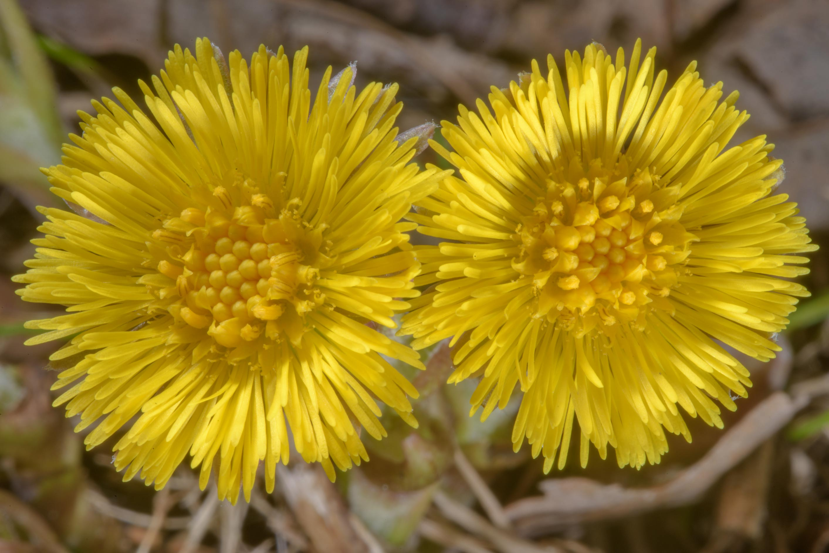 Common yellow spring flower of coltsfoot...Lake. North from St.Petersburg, Russia