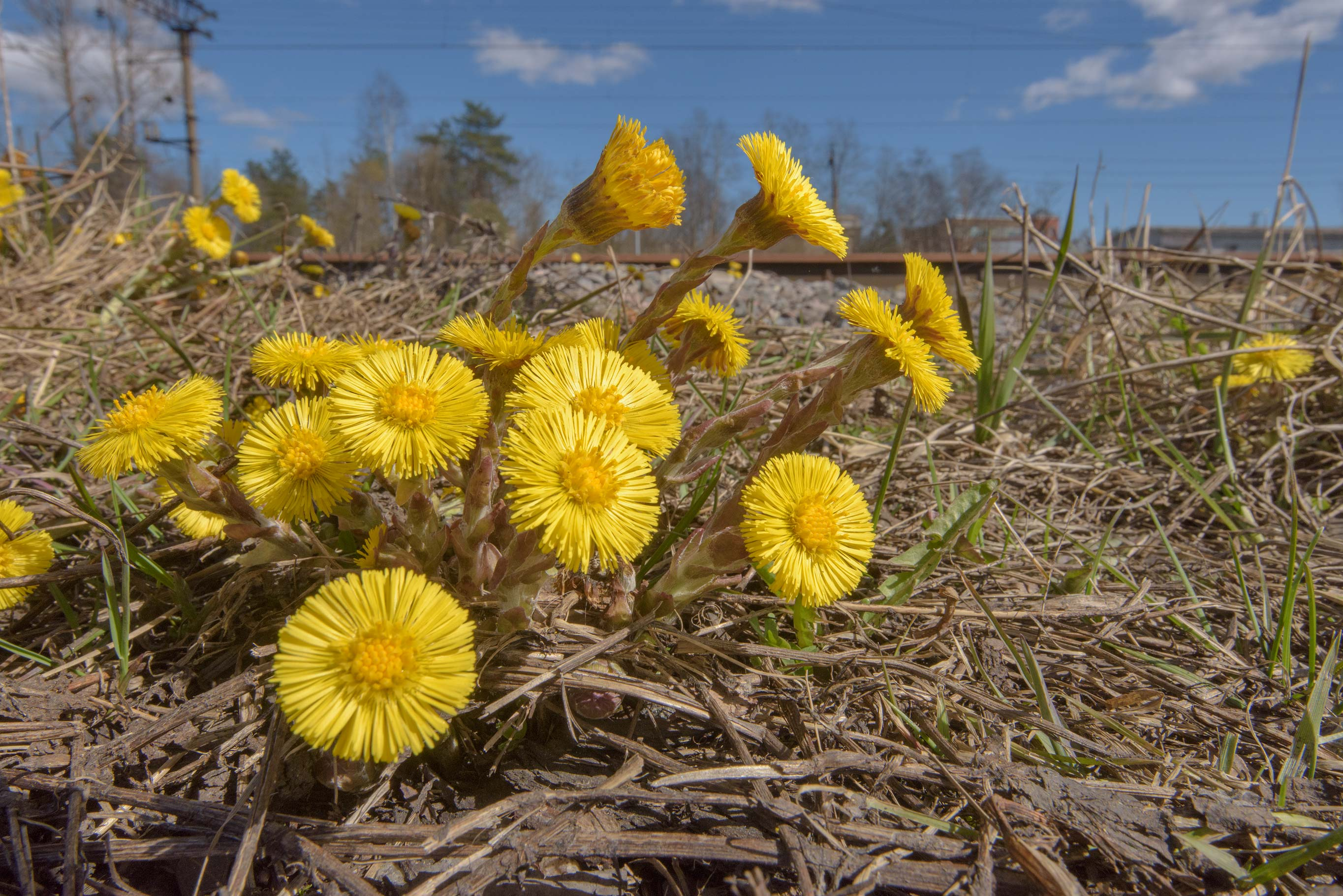 Flowers of coltsfoot (Tussilago farfara, Russian...North from St.Petersburg, Russia