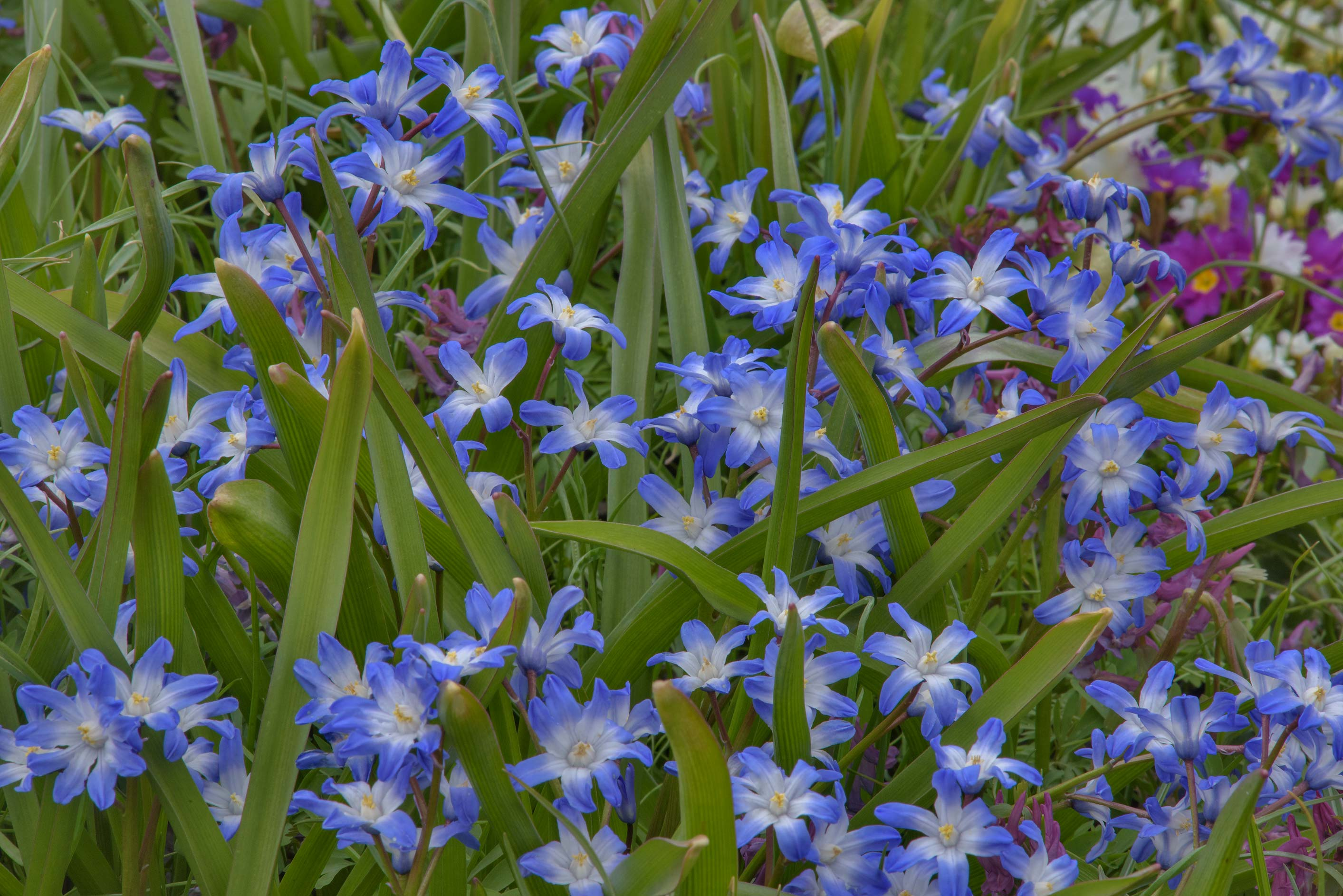 Chionodoxa 'Blue Giant' in Botanic Gardens of...Institute. St.Petersburg, Russia