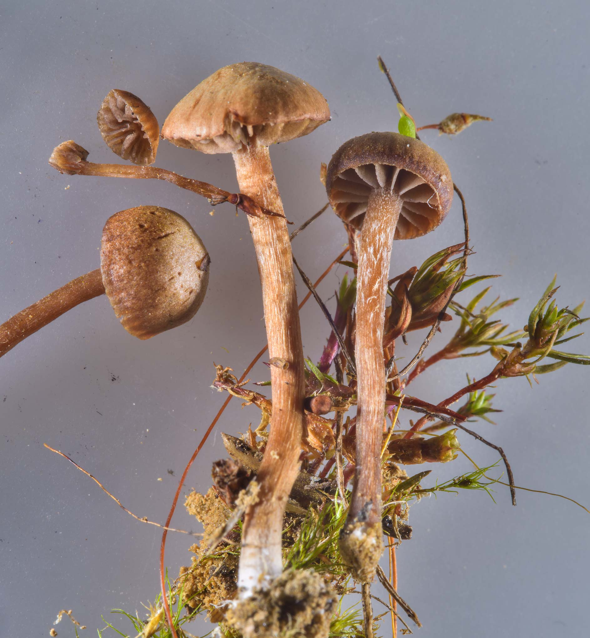 Mountain moss Psilocybe mushrooms (Psilocybe...miles north from St.Petersburg. Russia
