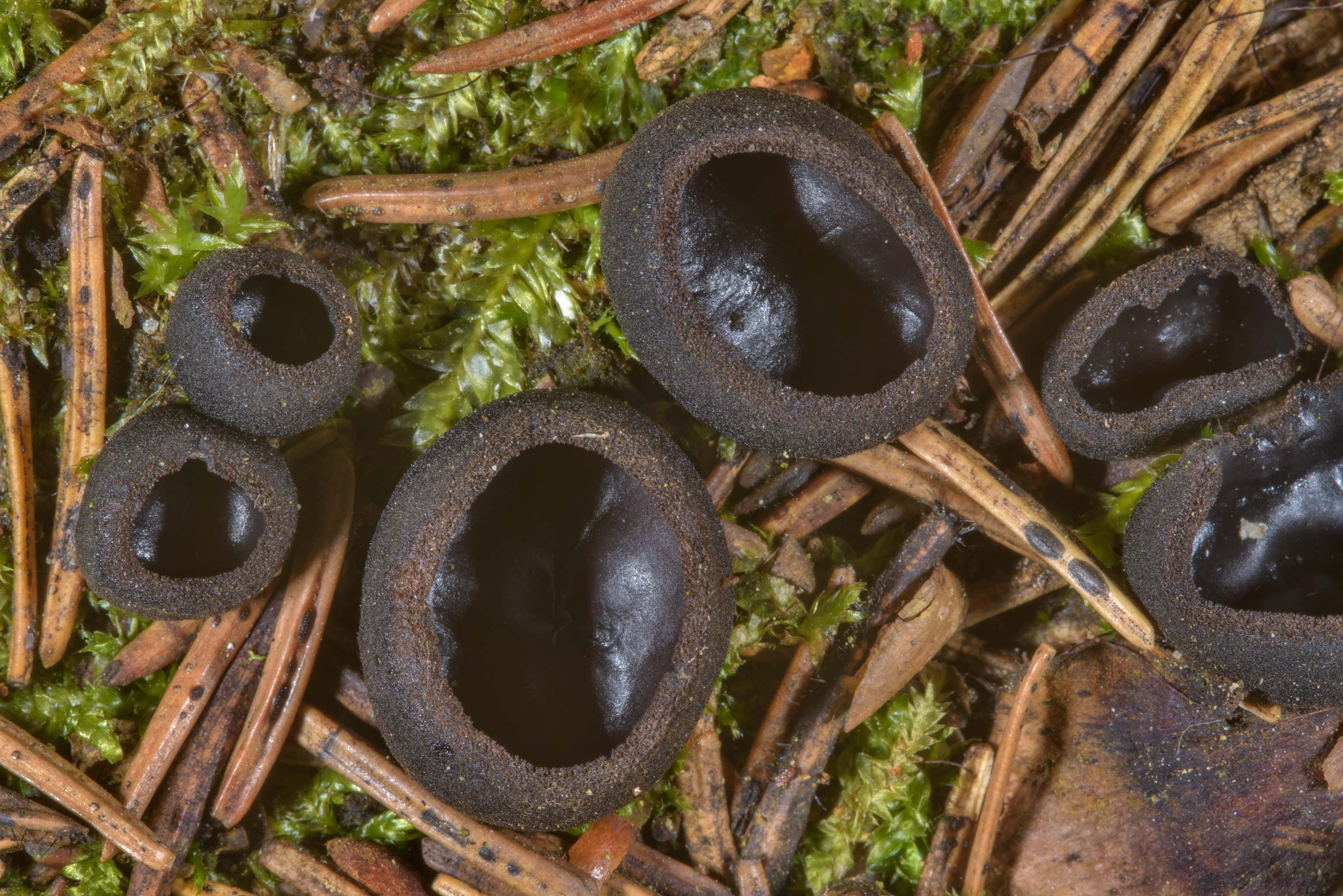 Ebony cup mushroom (Pseudoplectania nigrella) on...a suburb of St.Petersburg, Russia