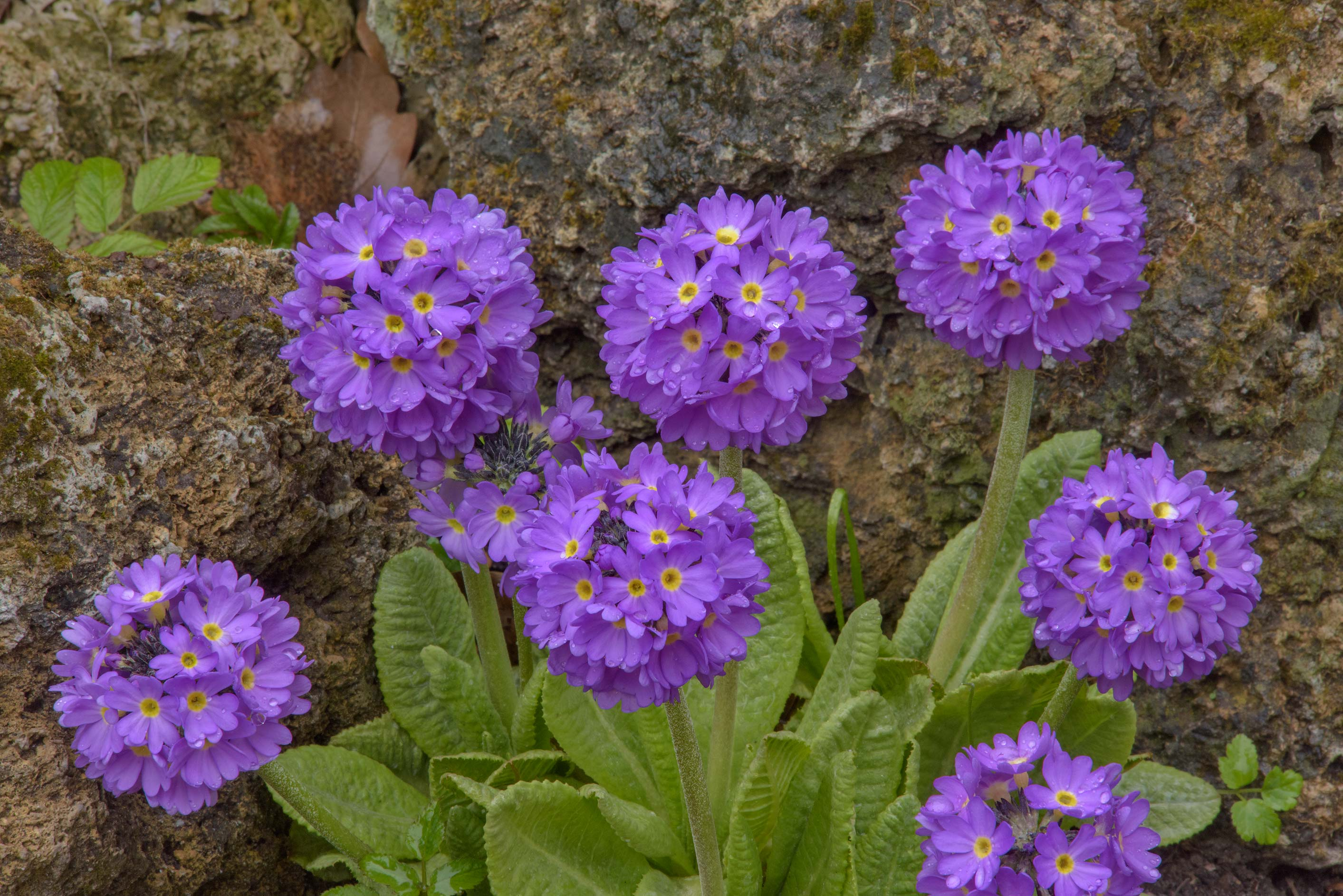 Blue primrose (Primula) in Botanic Gardens of...Institute. St.Petersburg, Russia