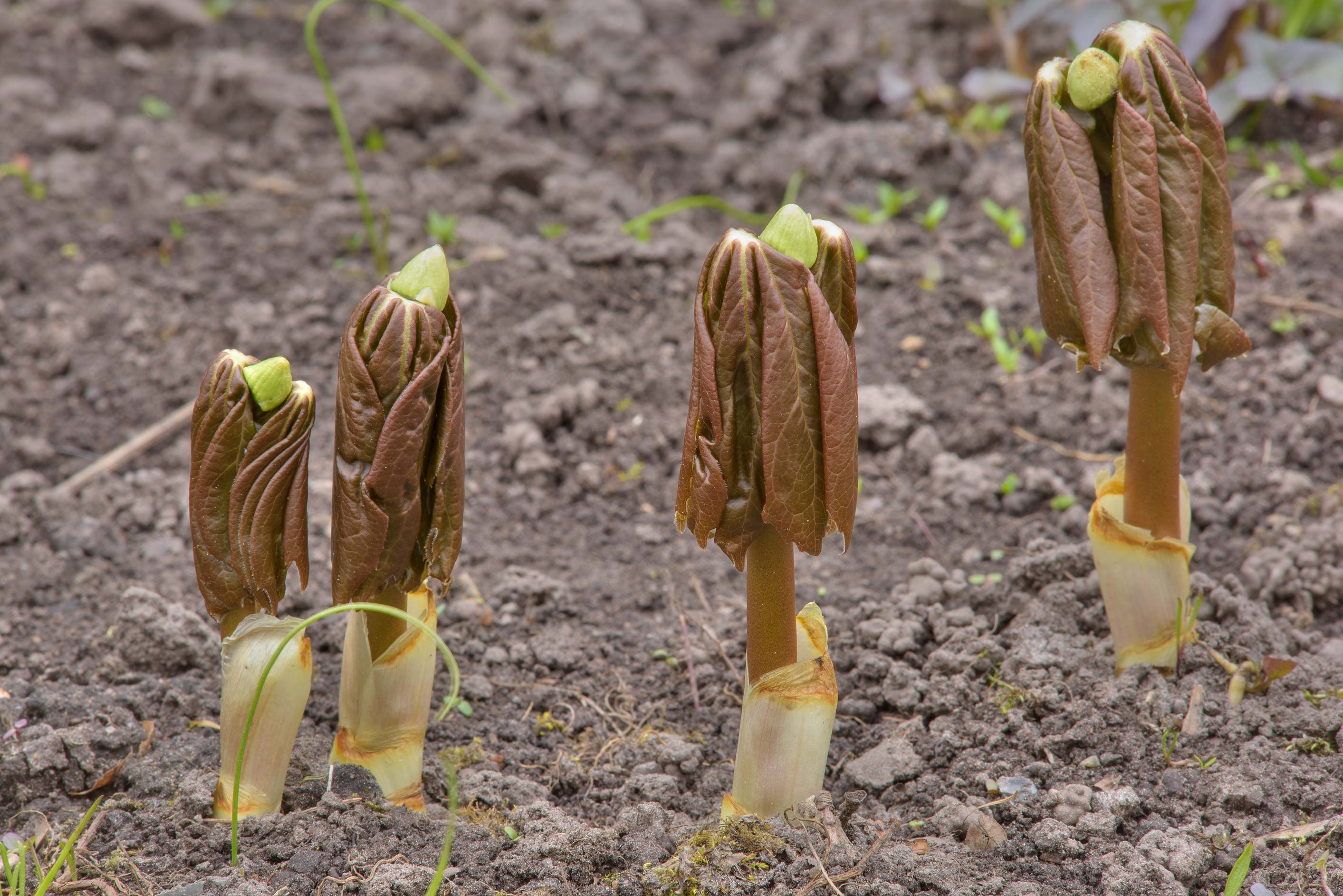 Shoots of apple (Podophyllum) in Botanic Gardens...Institute. St.Petersburg, Russia