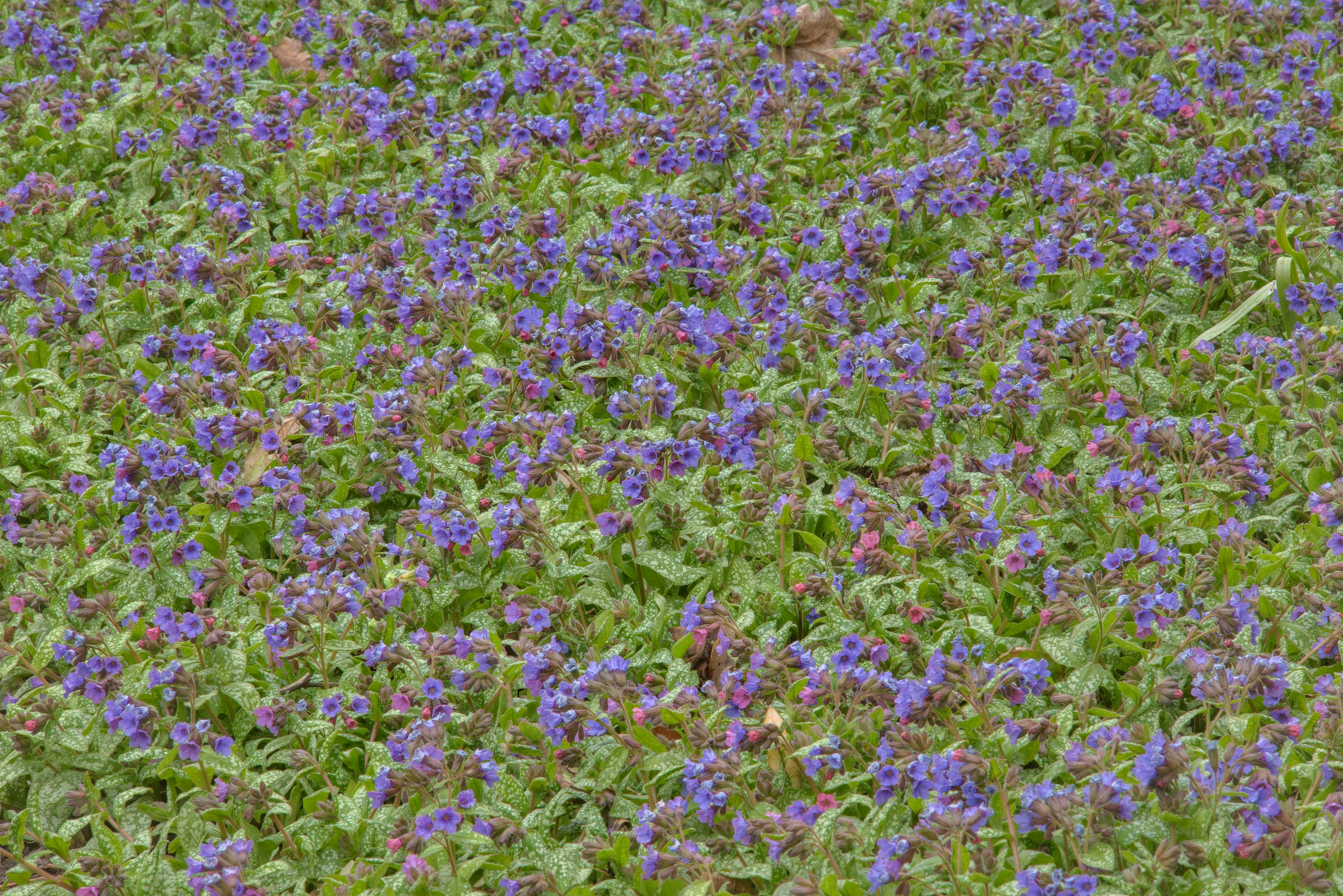 Masses of flowers of lungwort (Bethlehem sage...Institute. St.Petersburg, Russia