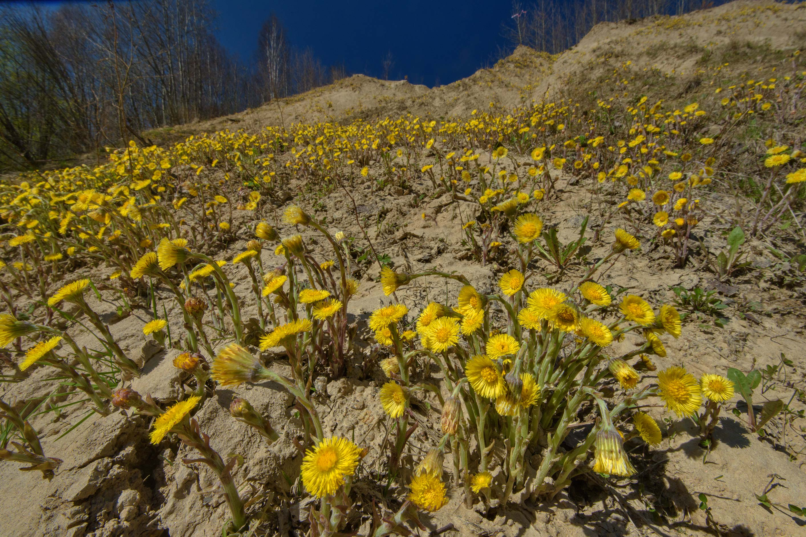 Yellow flowers of coltsfoot (Tussilago farfara...north from St.Petersburg. Russia