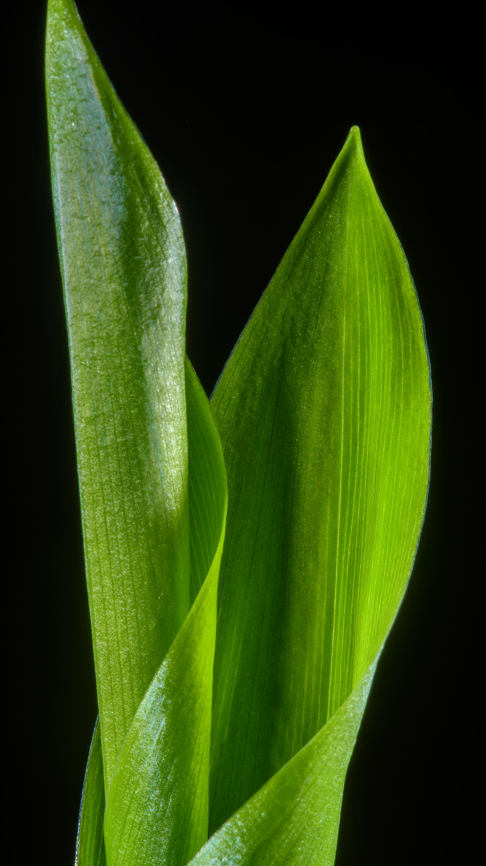Emerging leaves of Lily-of-the-valley...suburb of St.Petersburg, Russia