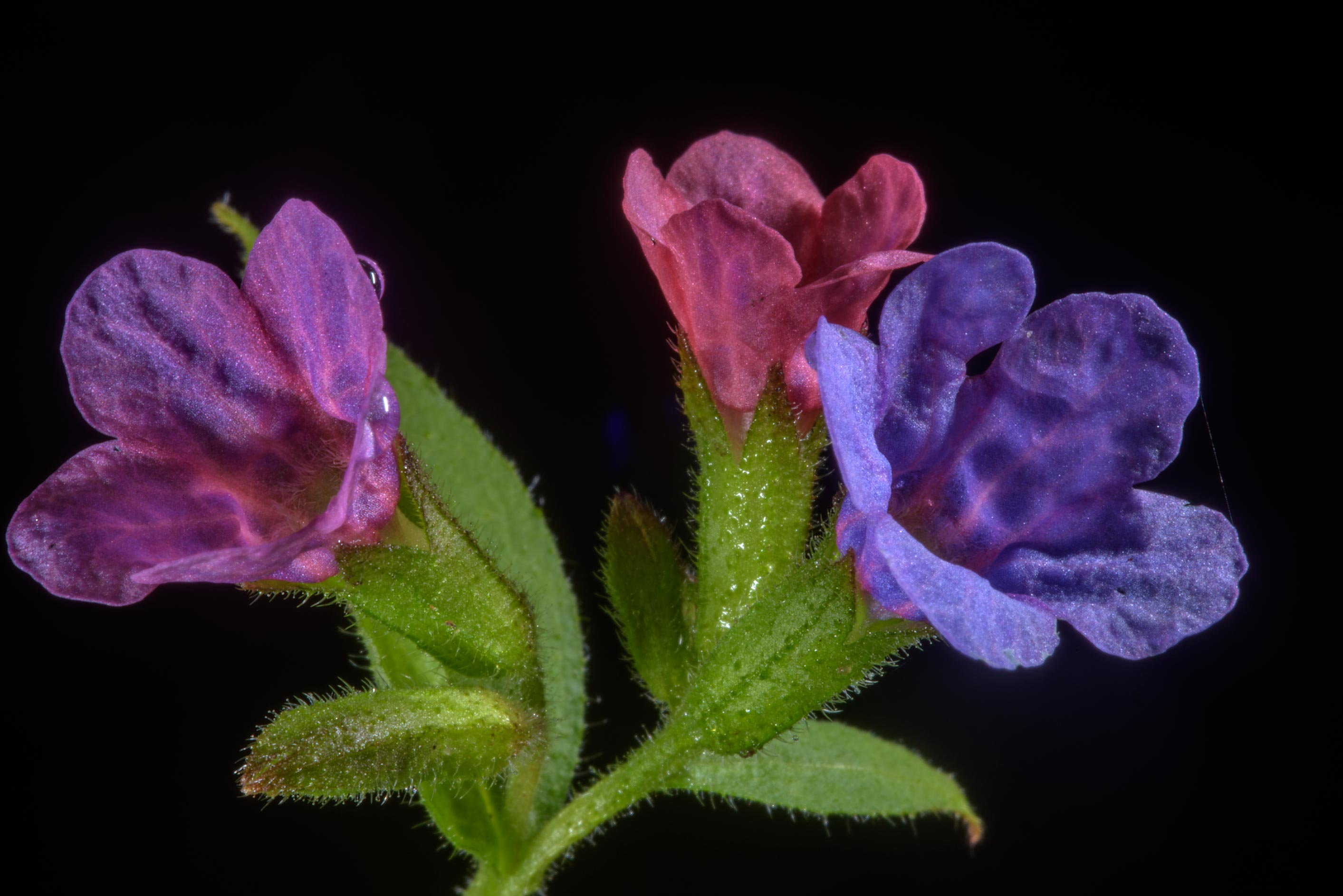 Close up of flowers of lungwort (Pulmonaria...south from St.Petersburg. Russia