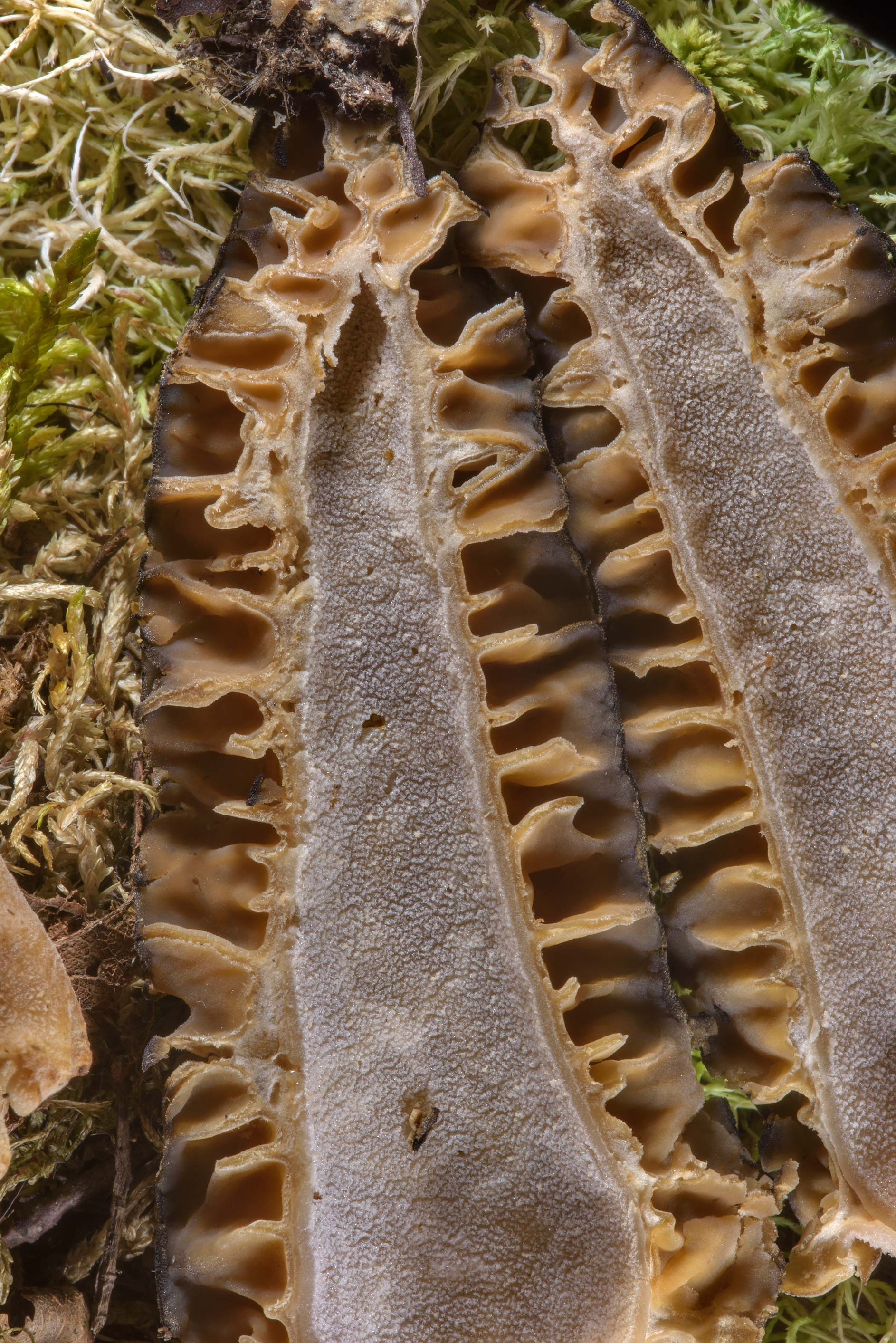Close up of dissected morel Morchella esculenta...Institute. St.Petersburg, Russia