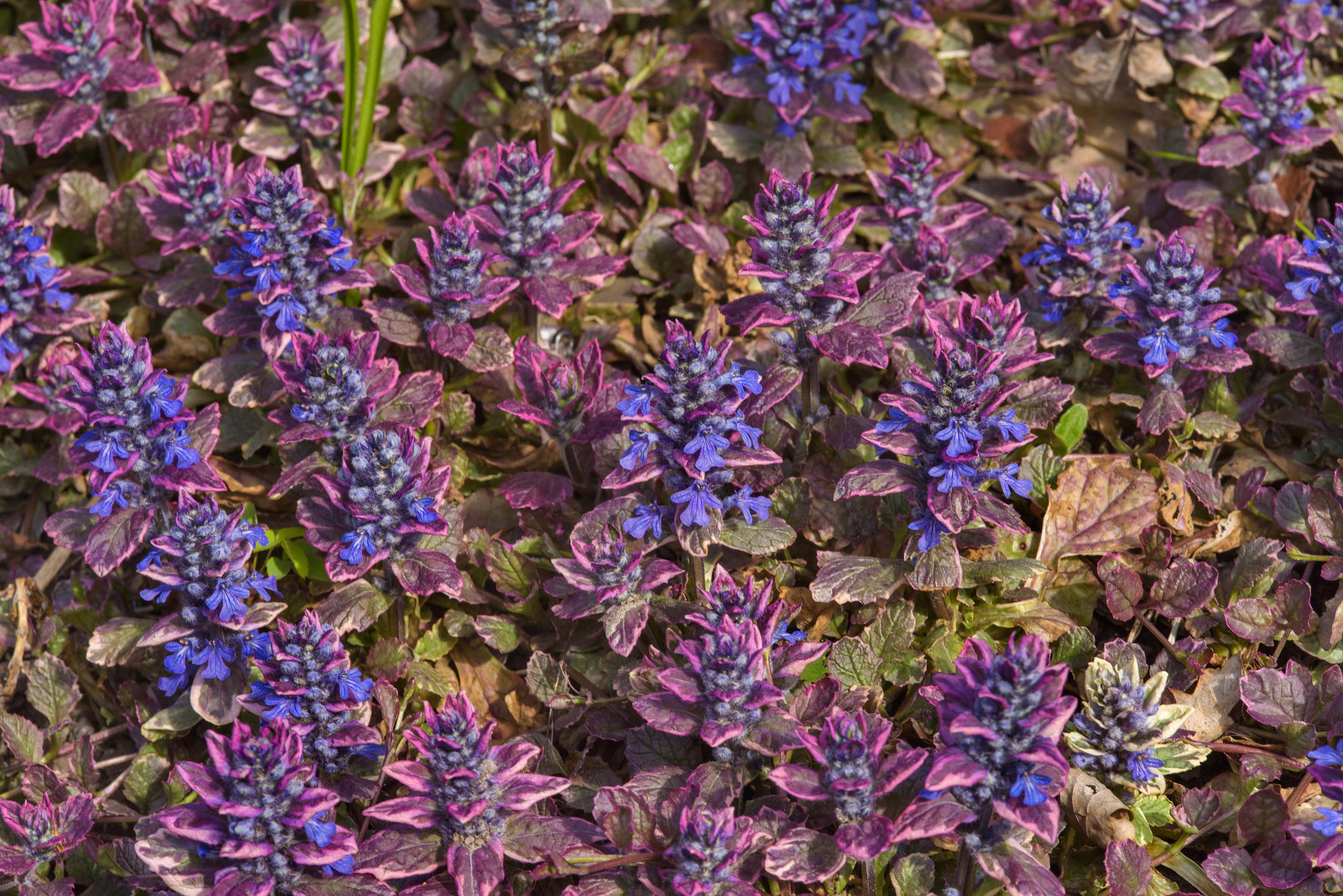 Blue bugle (Ajuga reptans) in Botanic Gardens of...Institute. St.Petersburg, Russia