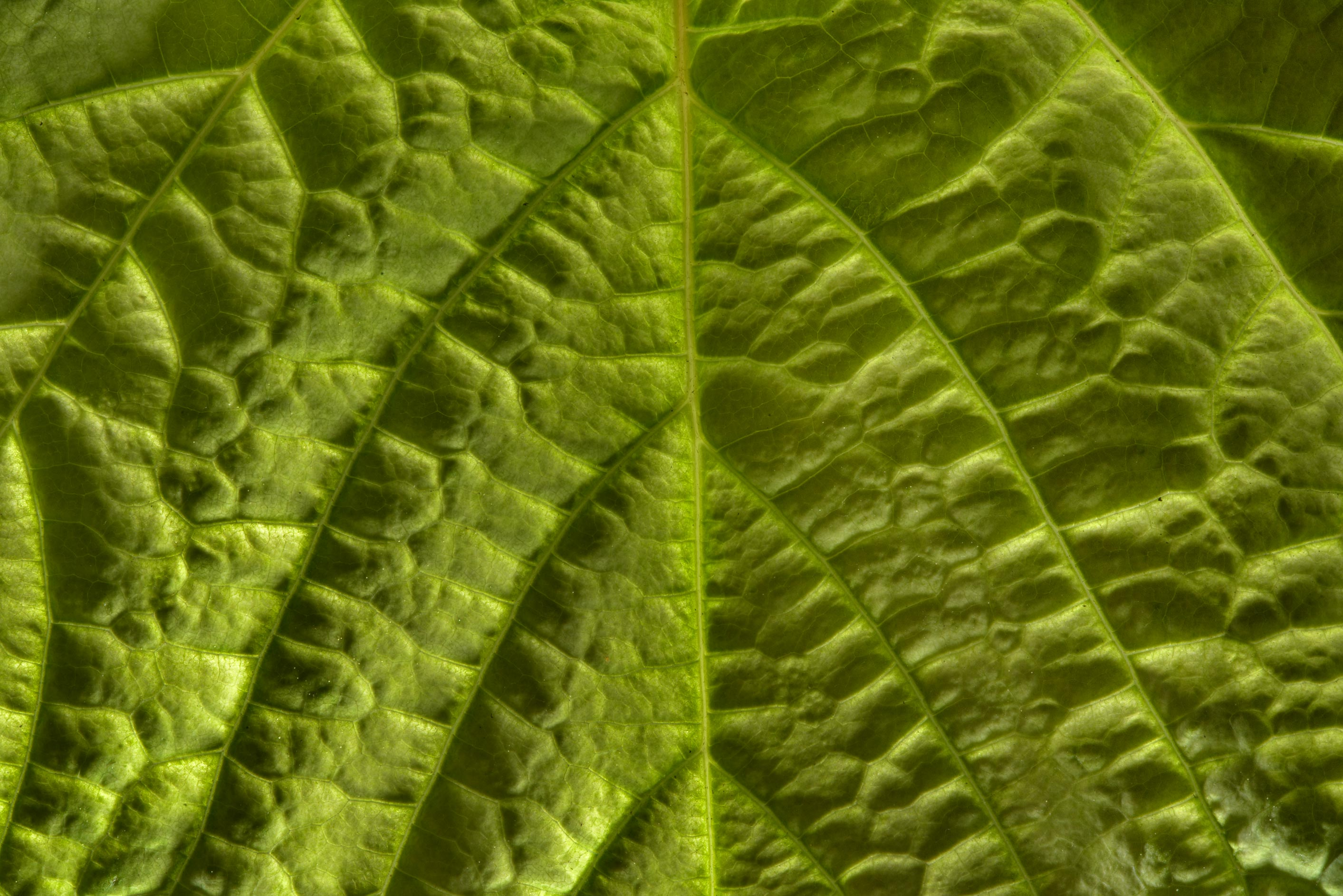 Backlit wrinkled leaf in Botanic Gardens of...Institute. St.Petersburg, Russia