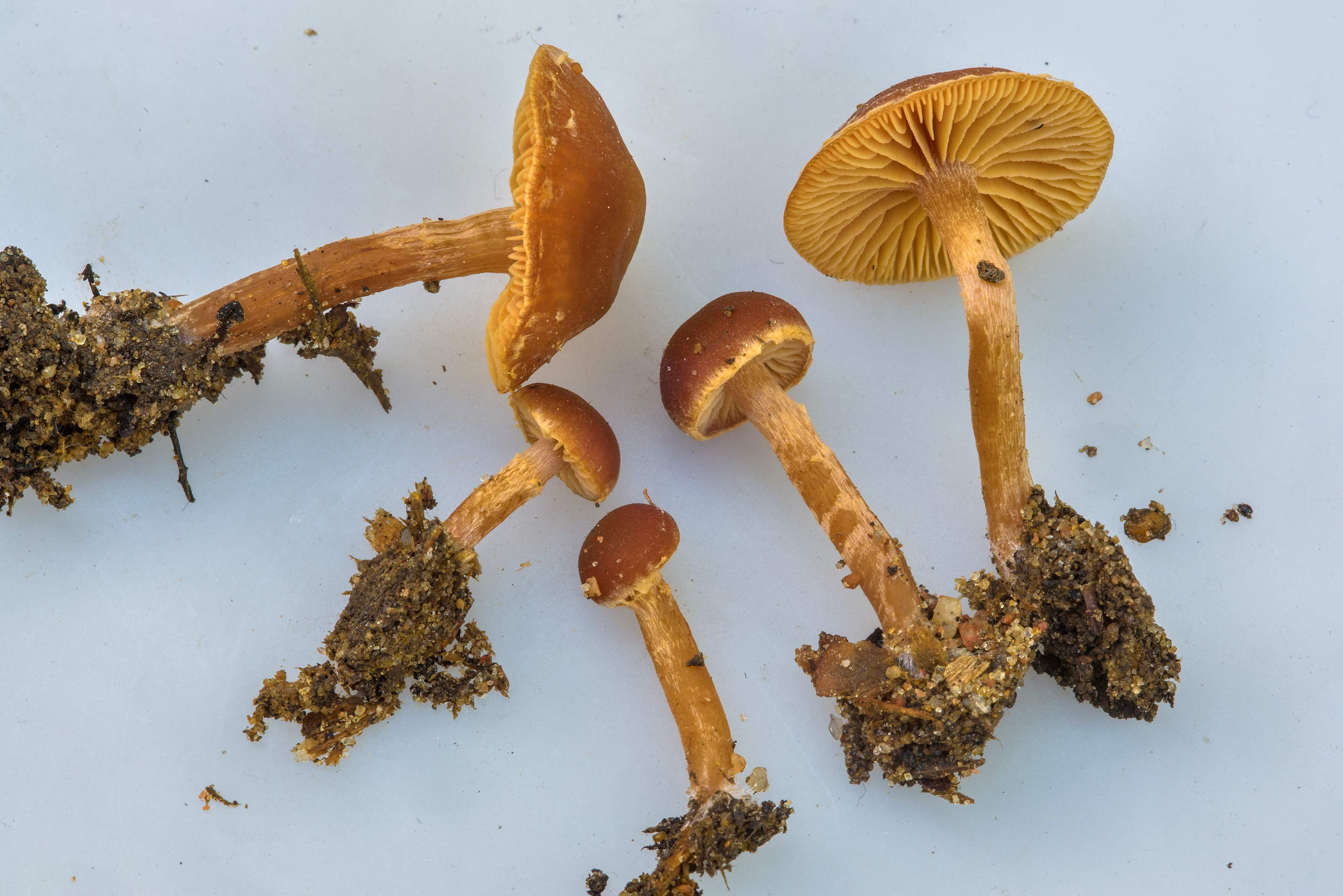Close up of scurfy twiglet mushrooms (Tubaria...north-west from St.Petersburg, Russia
