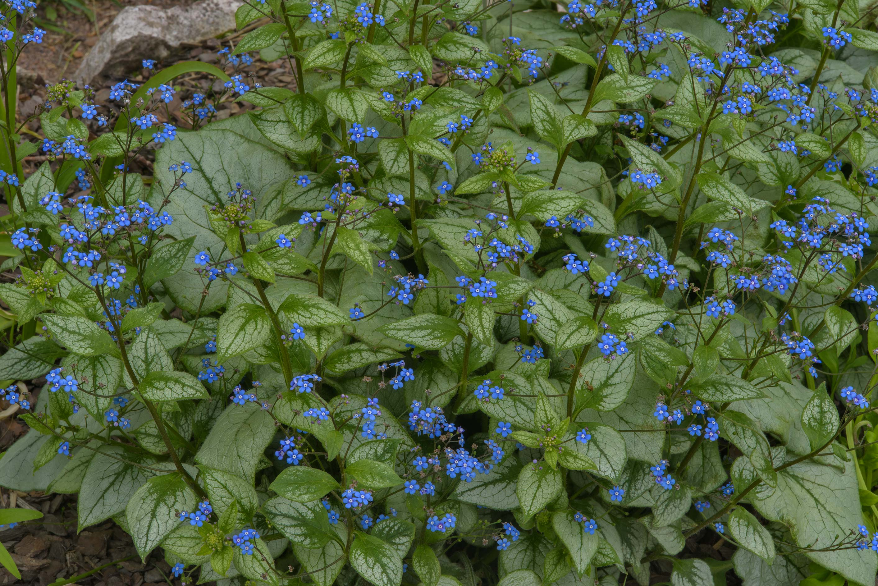 Siberian bugloss (great forget-me-not, Brunnera...Institute. St.Petersburg, Russia