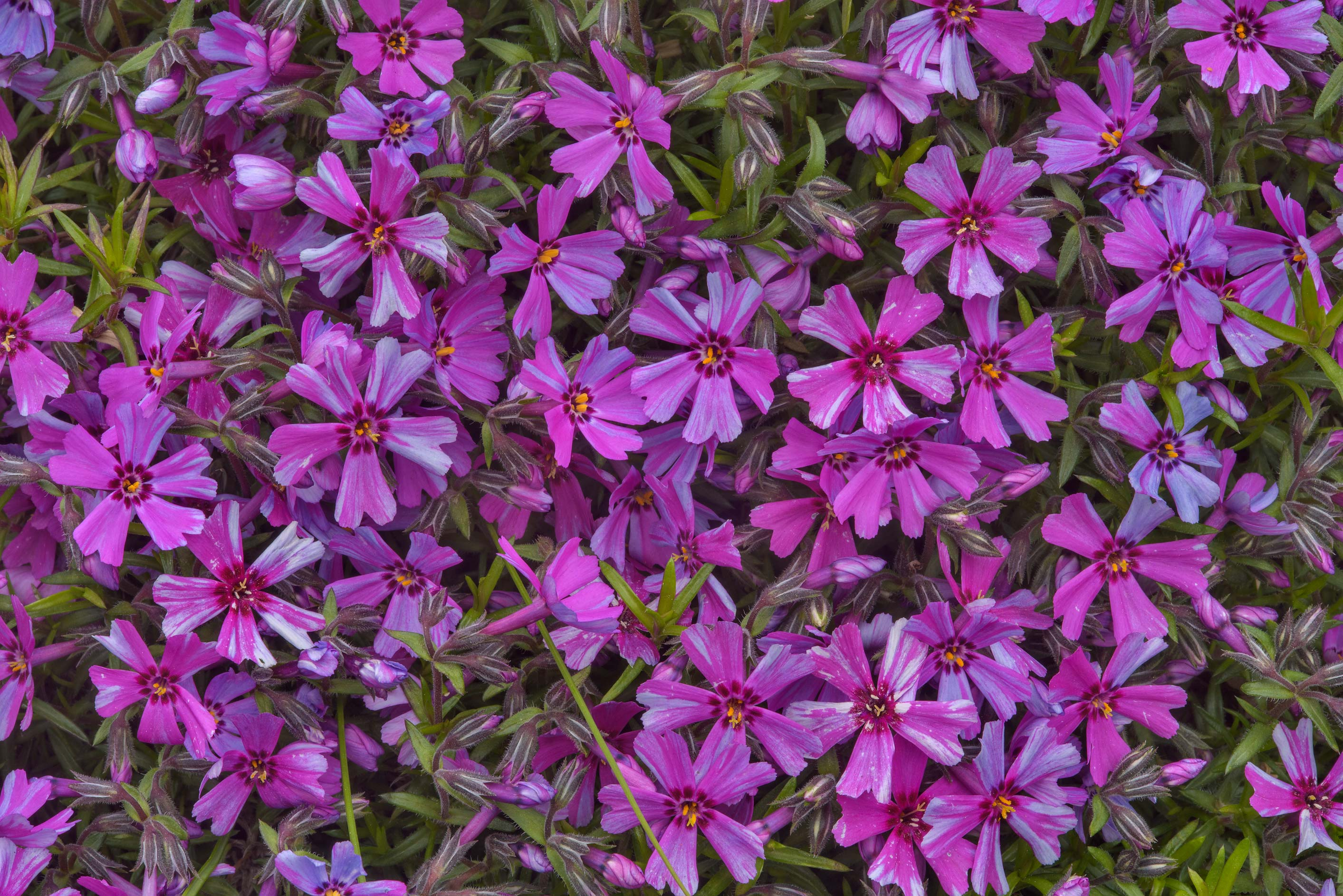 Pink phlox flowers in Botanic Gardens of Komarov...Institute. St.Petersburg, Russia