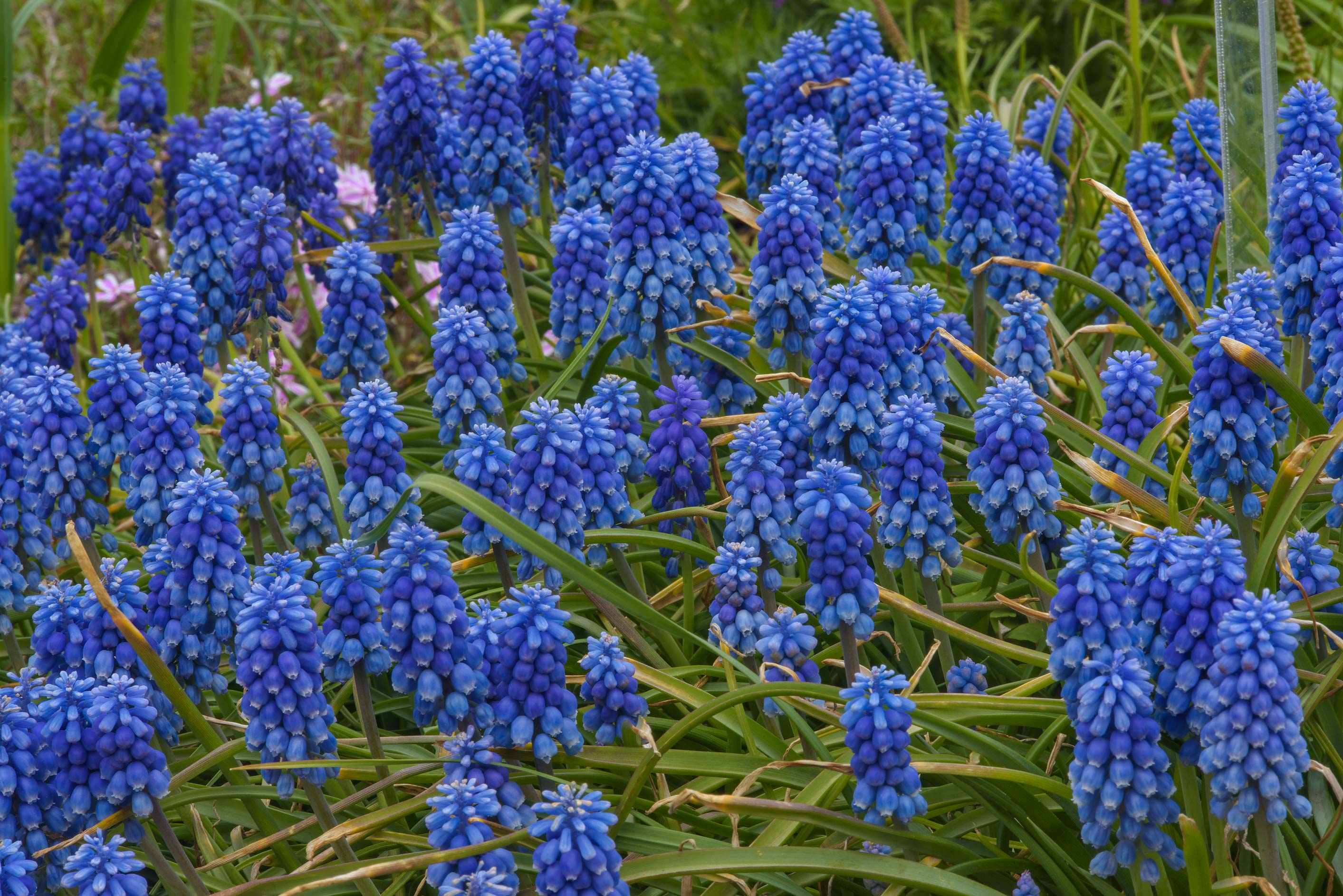 Flowers of grape hyacinth (Muscari) in Botanic...Institute. St.Petersburg, Russia