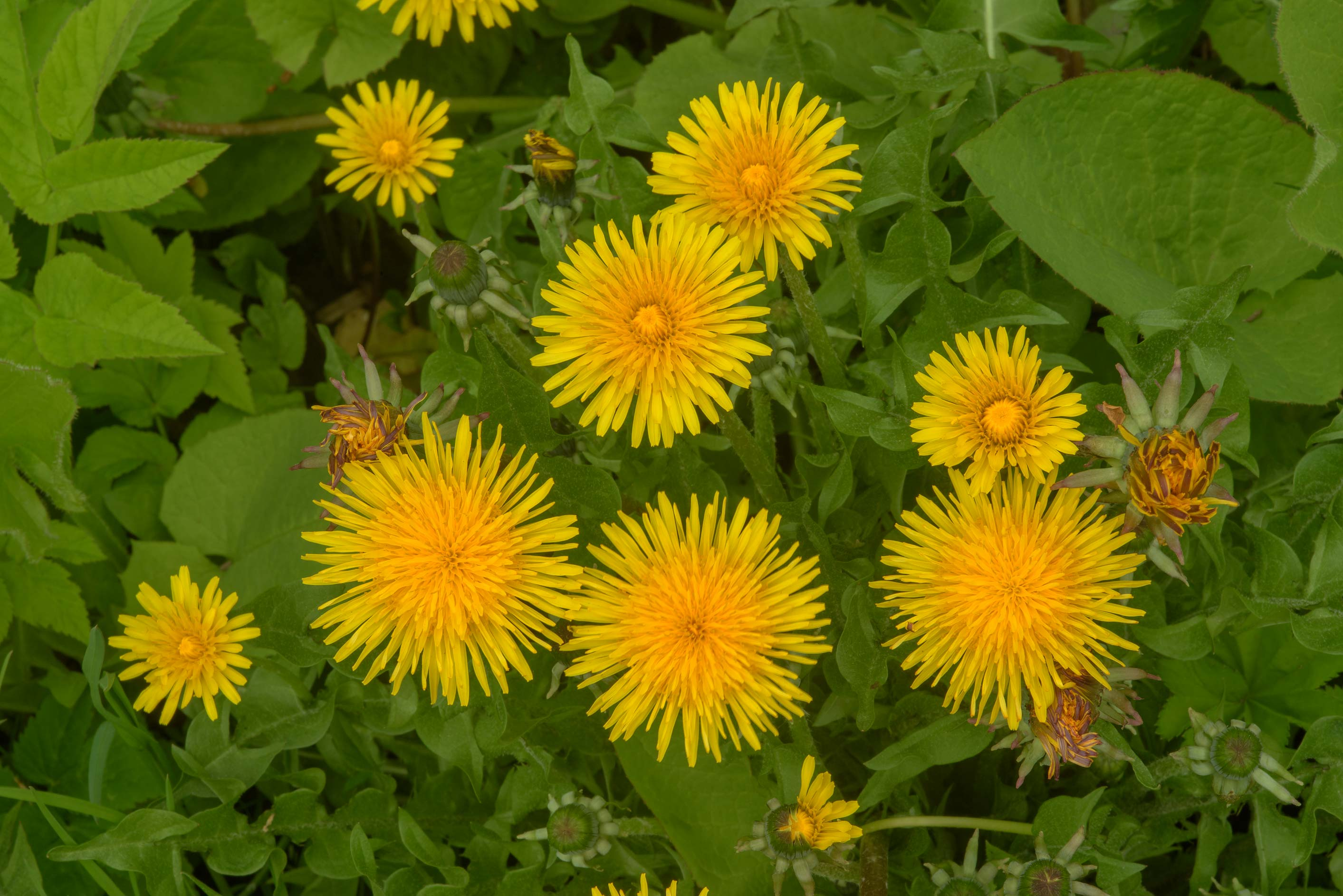 Common dandelion (Taraxacum officinale, Russian...Institute. St.Petersburg, Russia