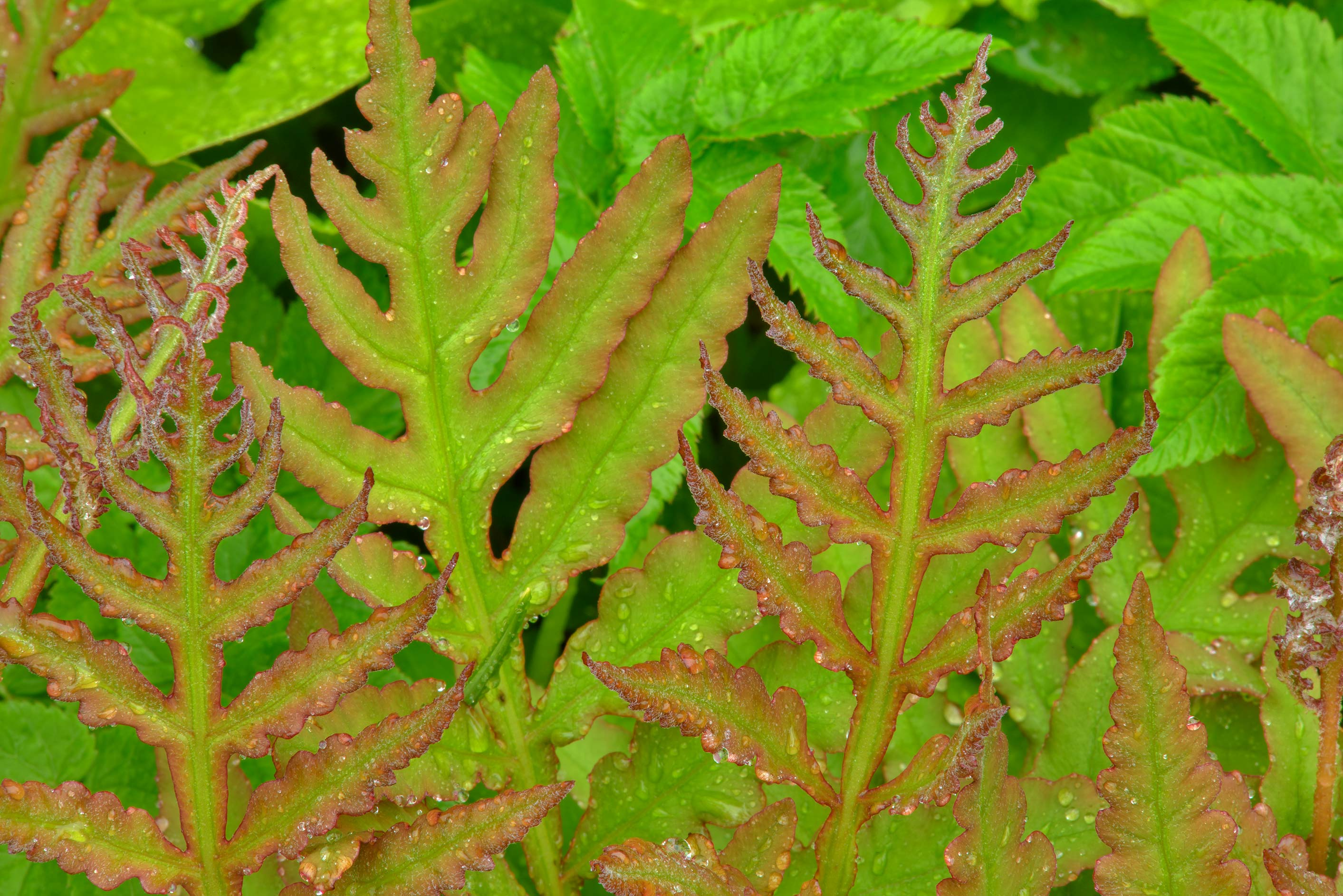 Young reddish leaves of ferns in Botanic Gardens...Institute. St.Petersburg, Russia