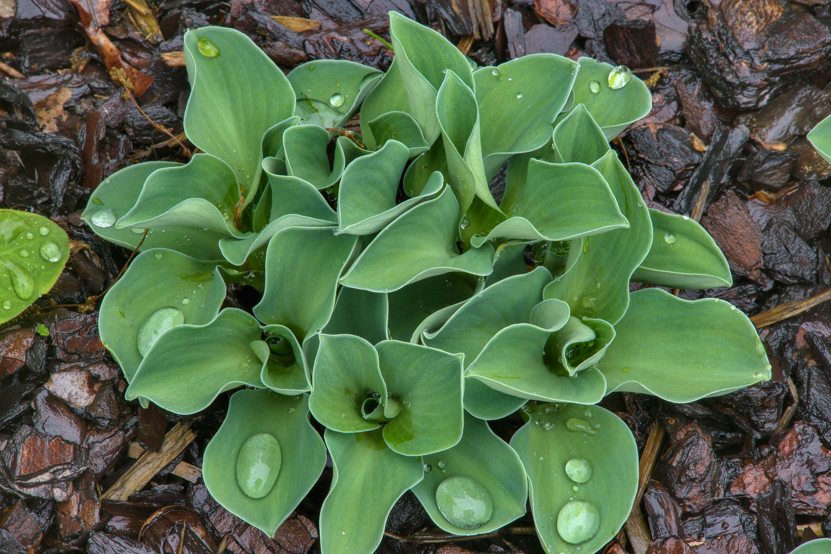 Tulip leaves in Botanic Gardens of Komarov Botanical Institute. St.Petersburg, Russia