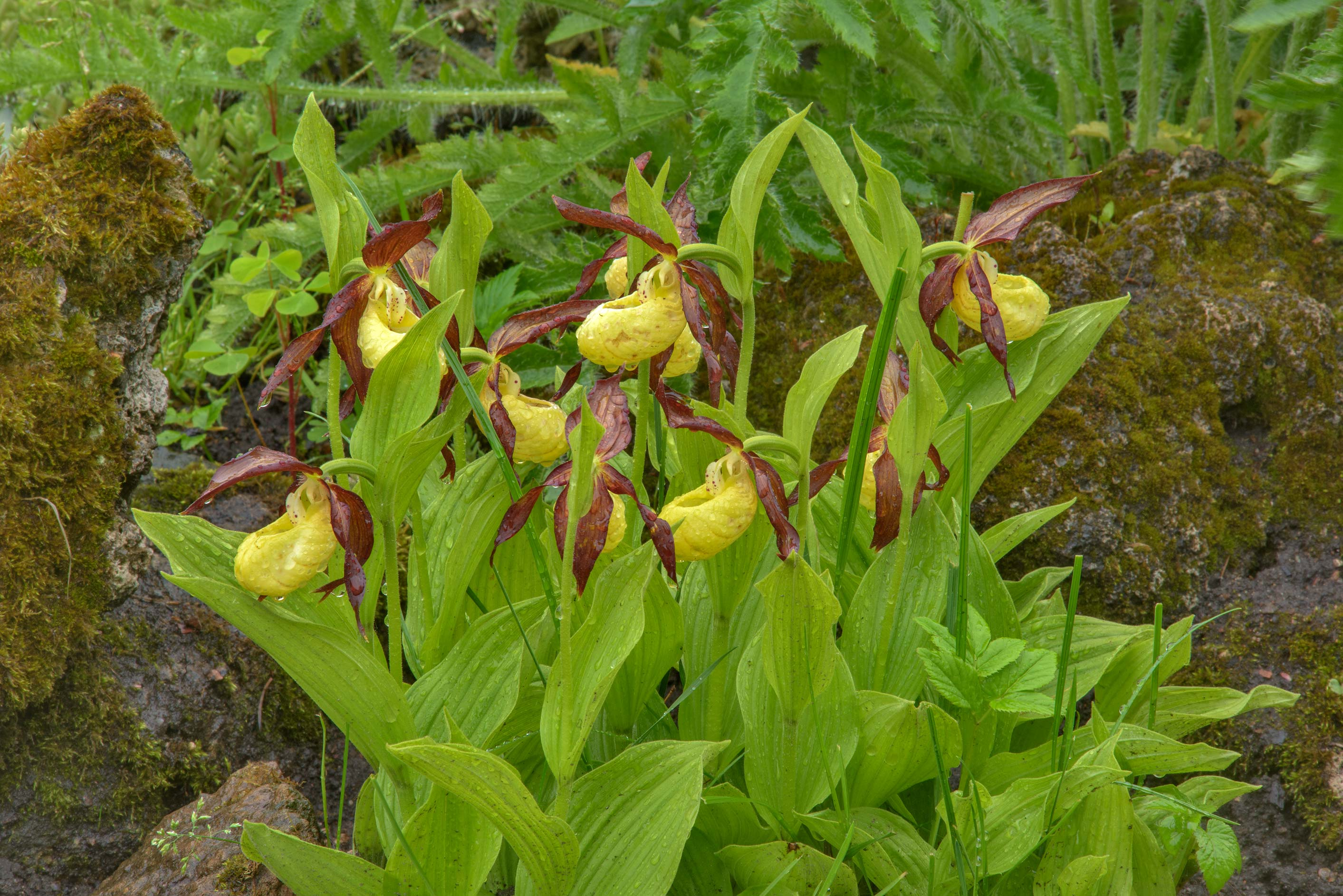 Yellow Lady's-Slipper orchid (Cypripedium...Institute. St.Petersburg, Russia
